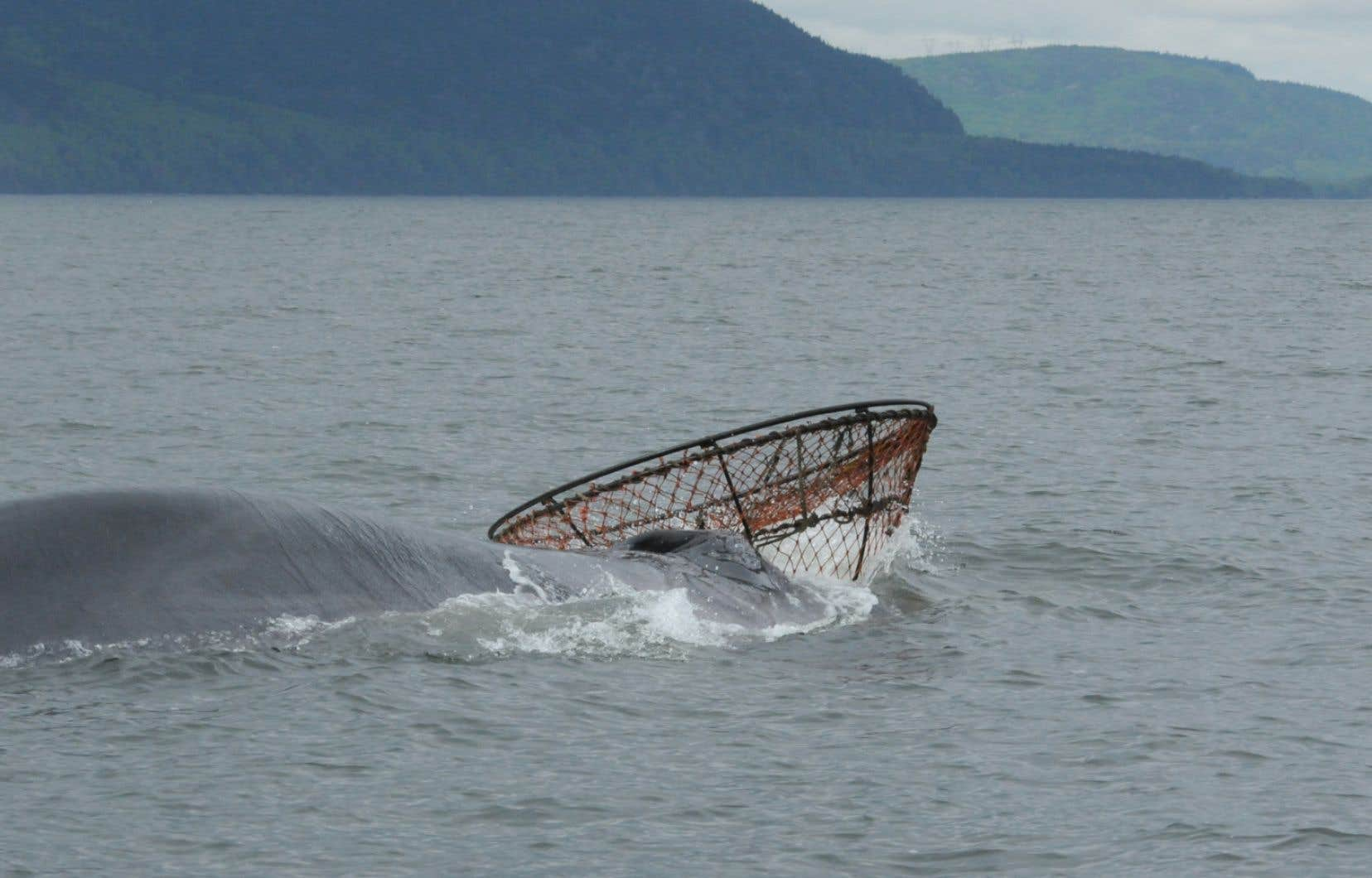 Capitaine Crochet est une habituée du parc marin du Saguenay–Saint-Laurent. Cette baleine d'une vingtaine de mètres doit son nom à sa nageoire dorsale bien arquée vers l'arrière.