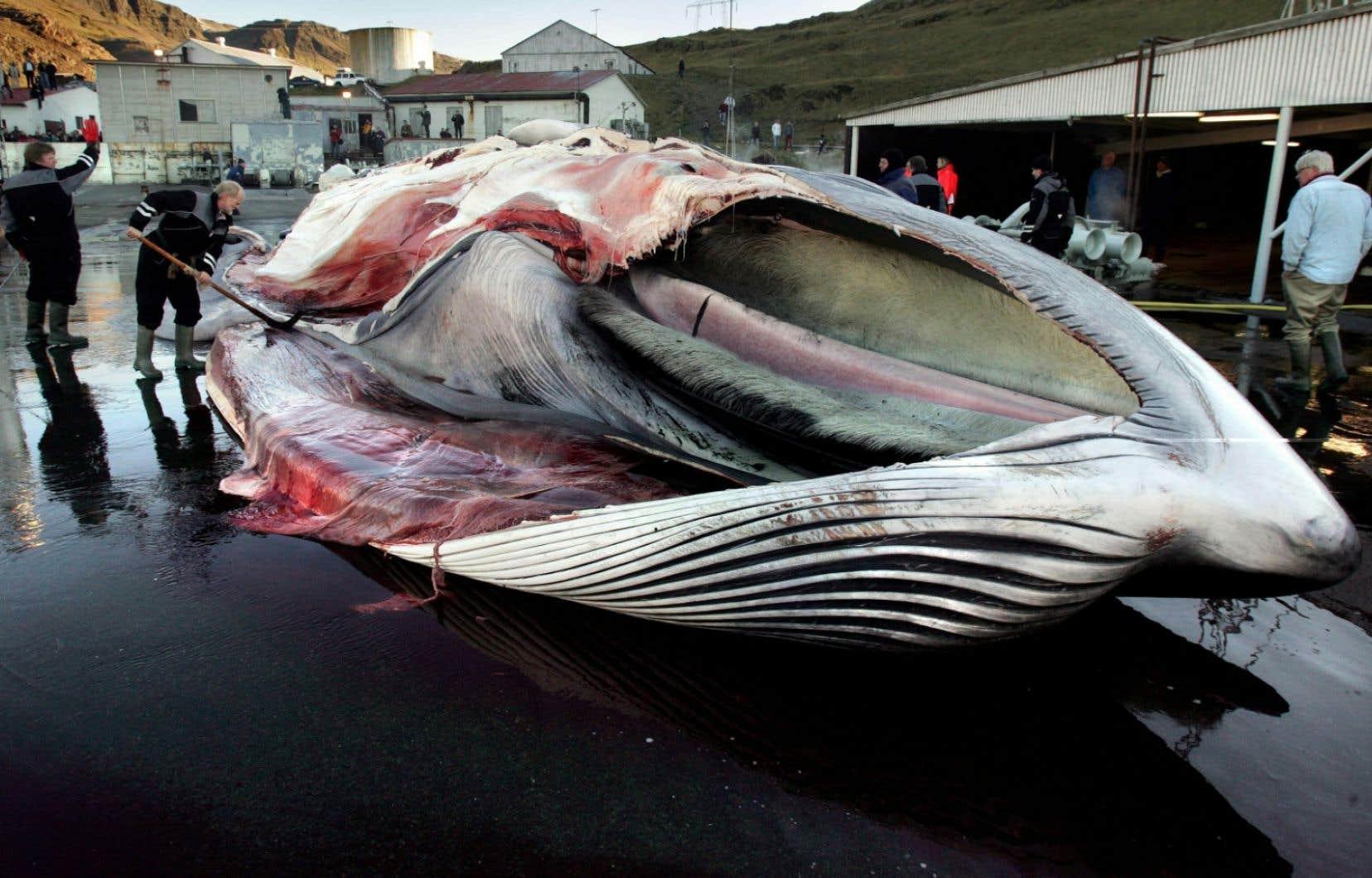Des travailleurs s'affairent sur une baleine qui vient d'être chassée à Hvalfjordur, en Islande. (photo d'archive)