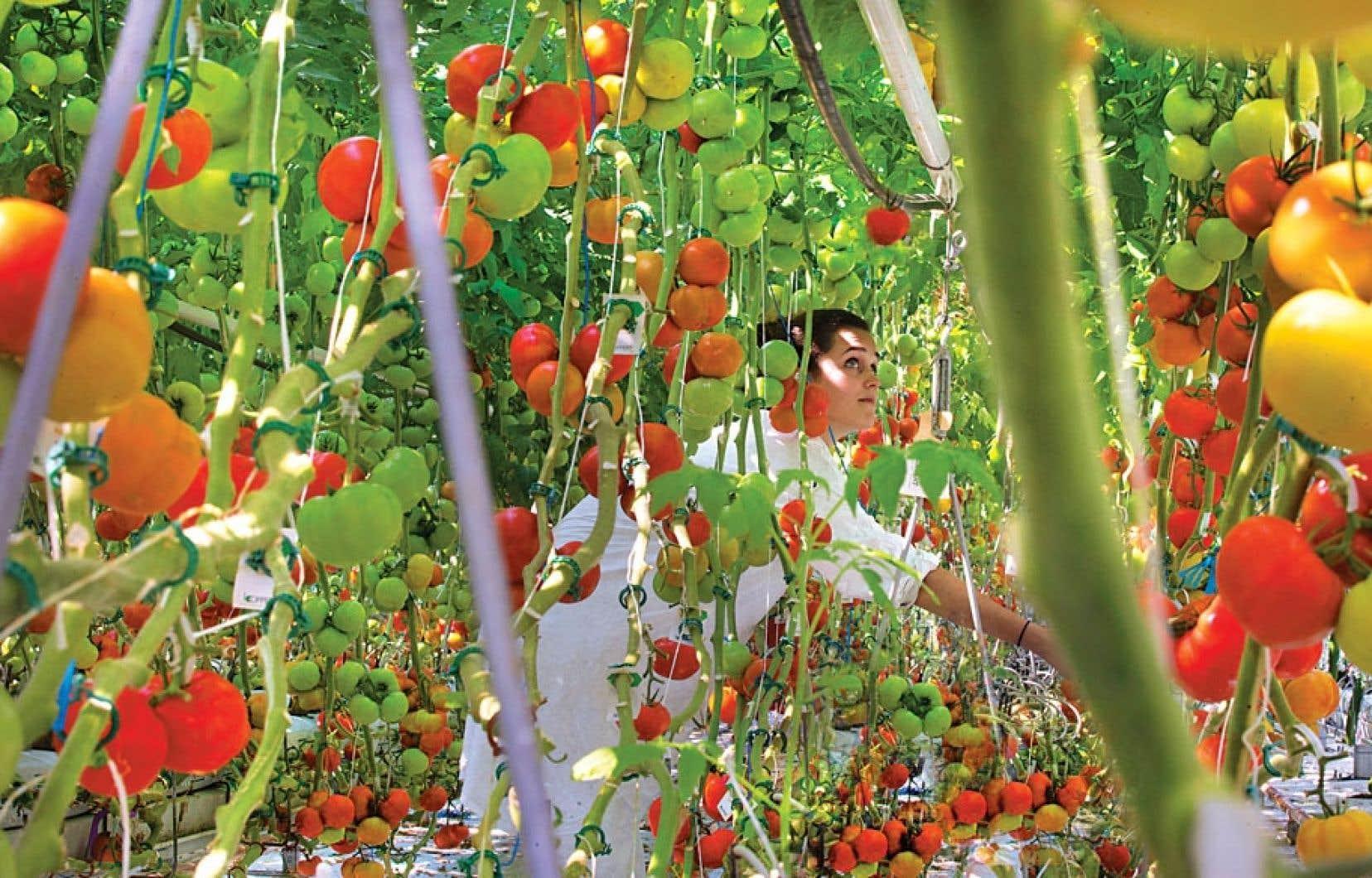 1000 à 1500 livres de légumes sont cueillis chaque jour en période estivale dans la serre des Fermes Lufa, installée sur le toit d'un édifice de Montréal.