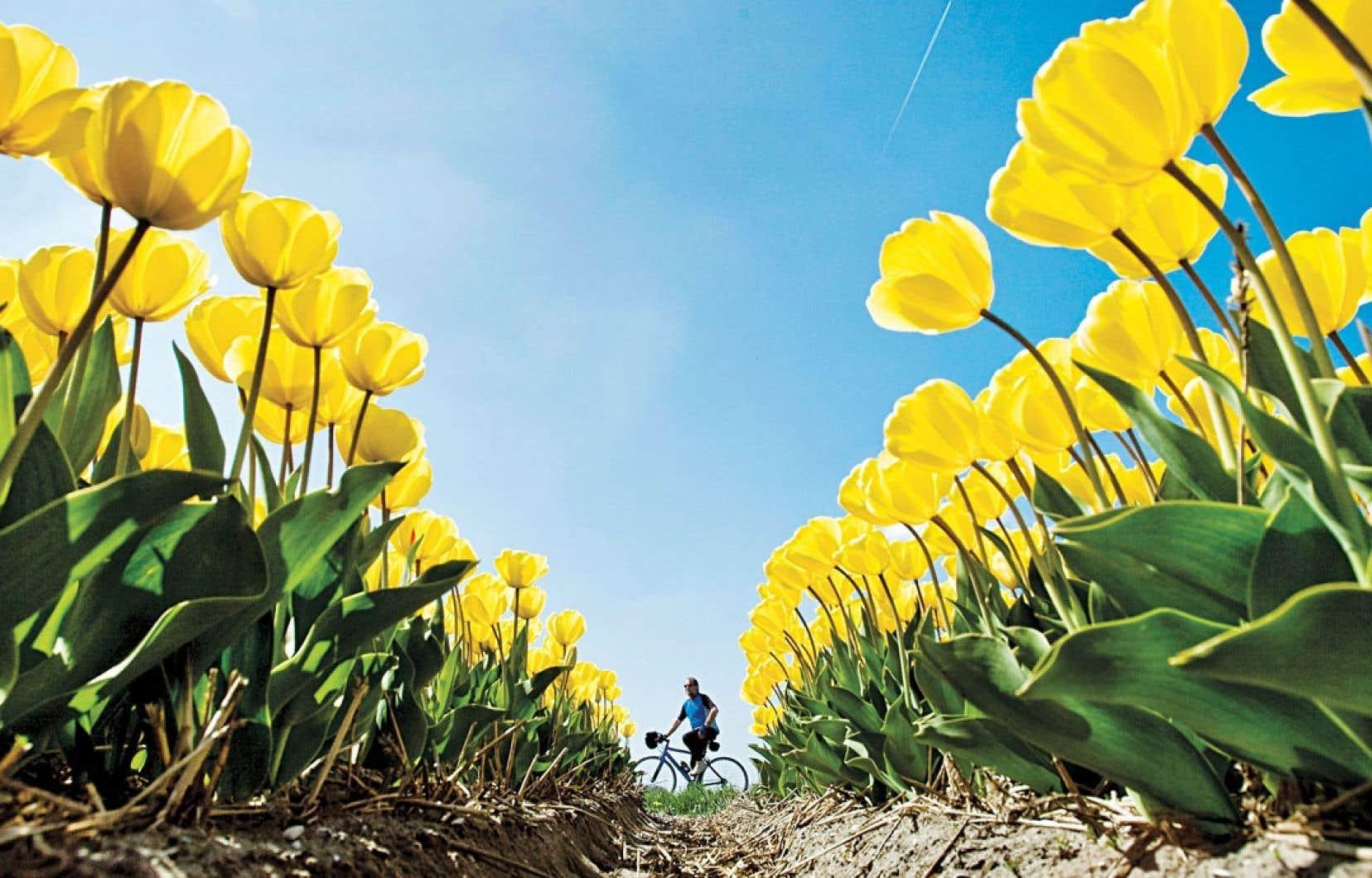 Plantés entre juin et septembre, les bulbes de tulipes fleurissent entre avril et mai de l'année suivante, et ce décalage dans le temps a donné naissance, au XVIIe siècle, à un marché à terme très sophistiqué.