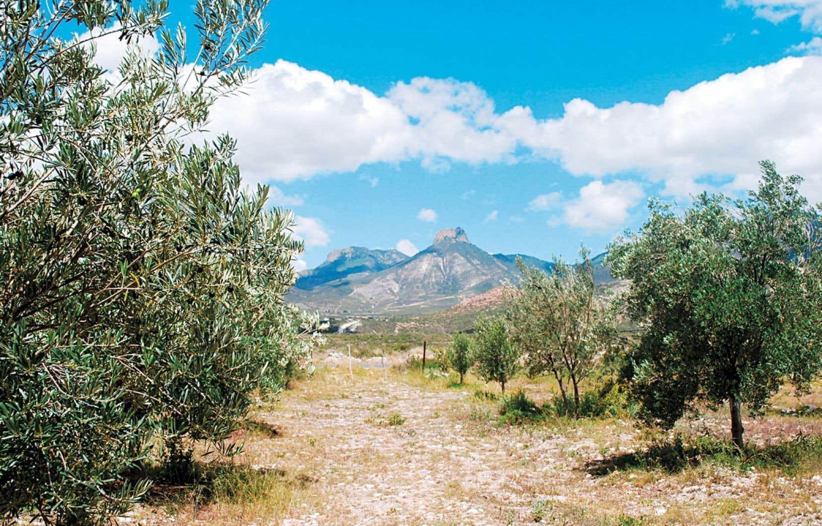 Il Cultive L Olivier l'olivier renaît au mexique | le devoir