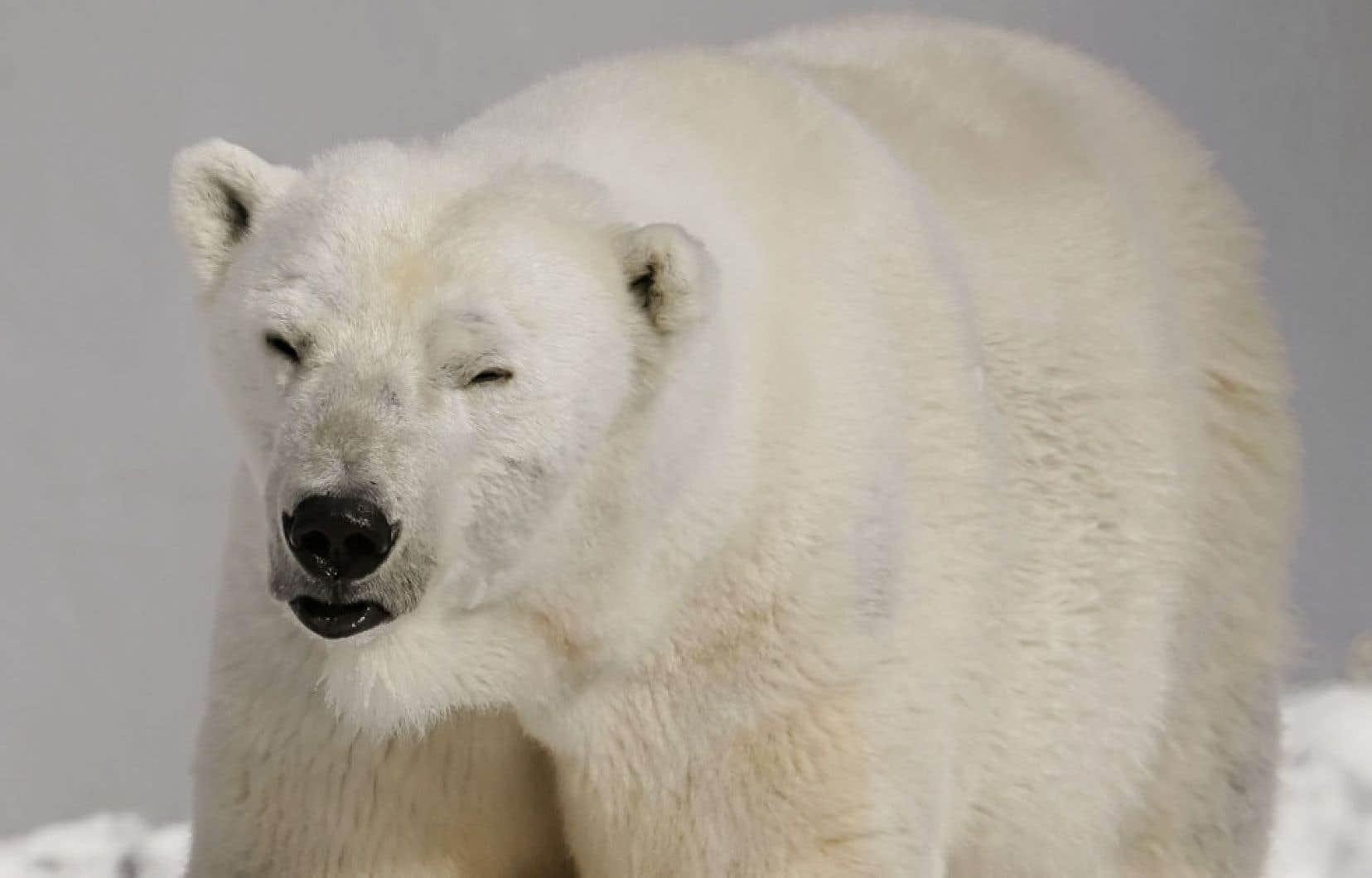 Le Canada a refusé en mars dernier d'appuyer une proposition internationale qui aurait permis d'interdire le commerce des ours polaires et des produits dérivés de cette espèce.
