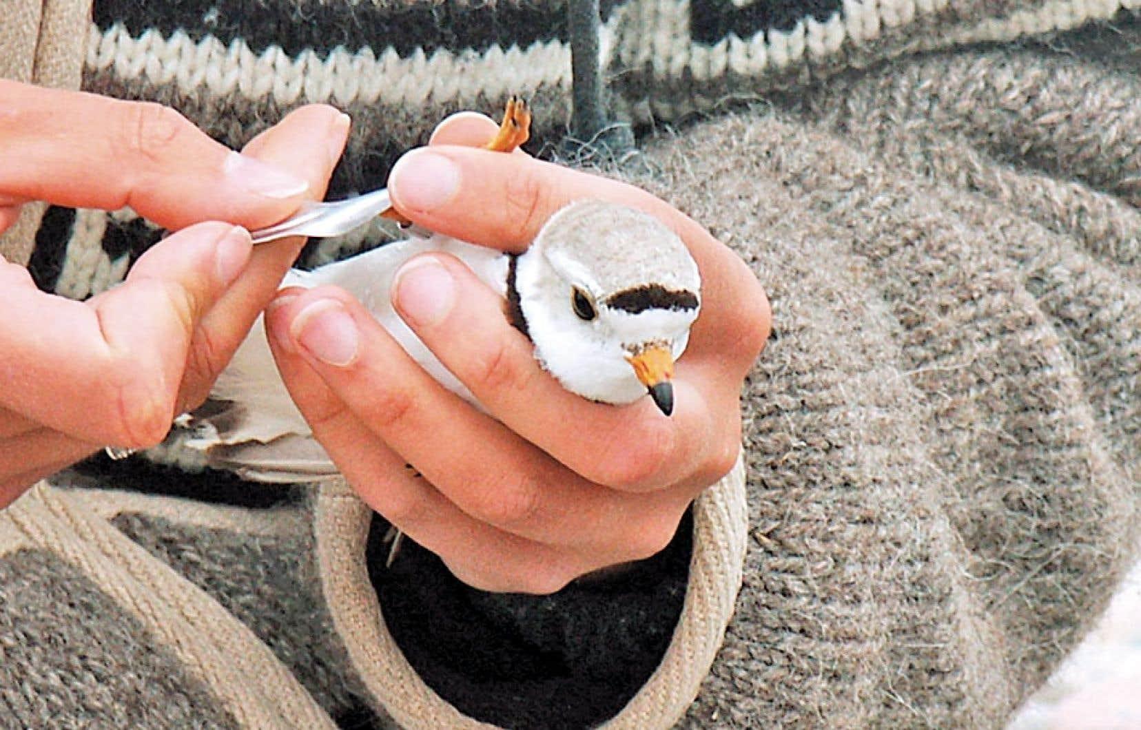 Un chercheur examine un pluvier siffleur, un habitant des berges du lac Supérieur qui fait l'objet d'une surveillance canado-américaine. Selon les données du gouvernement fédéral, la liste des espèces en danger de disparition ne cesse de s'allonger.