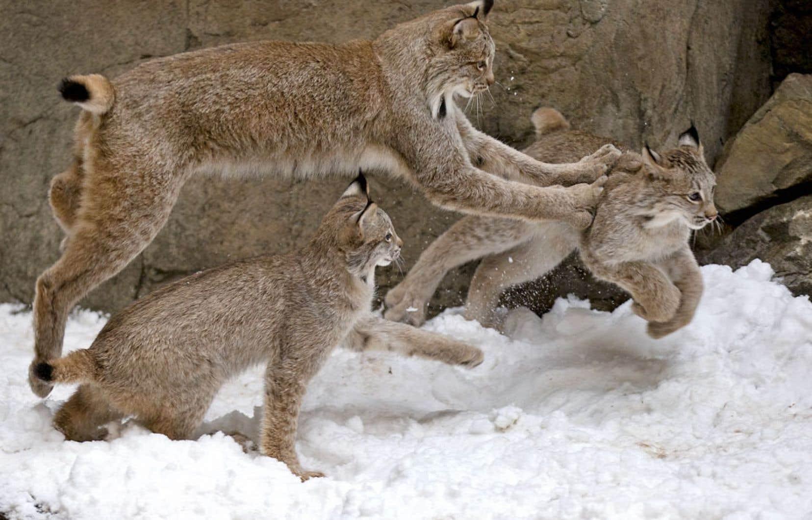 Les employés du Biodôme ont ajouté de la neige, mercredi, dans l'habitat des lynx, une première pour les jeunes. Ils y ont tout de suite vu une occasion de jouer — même la mère s'est mise de la partie.