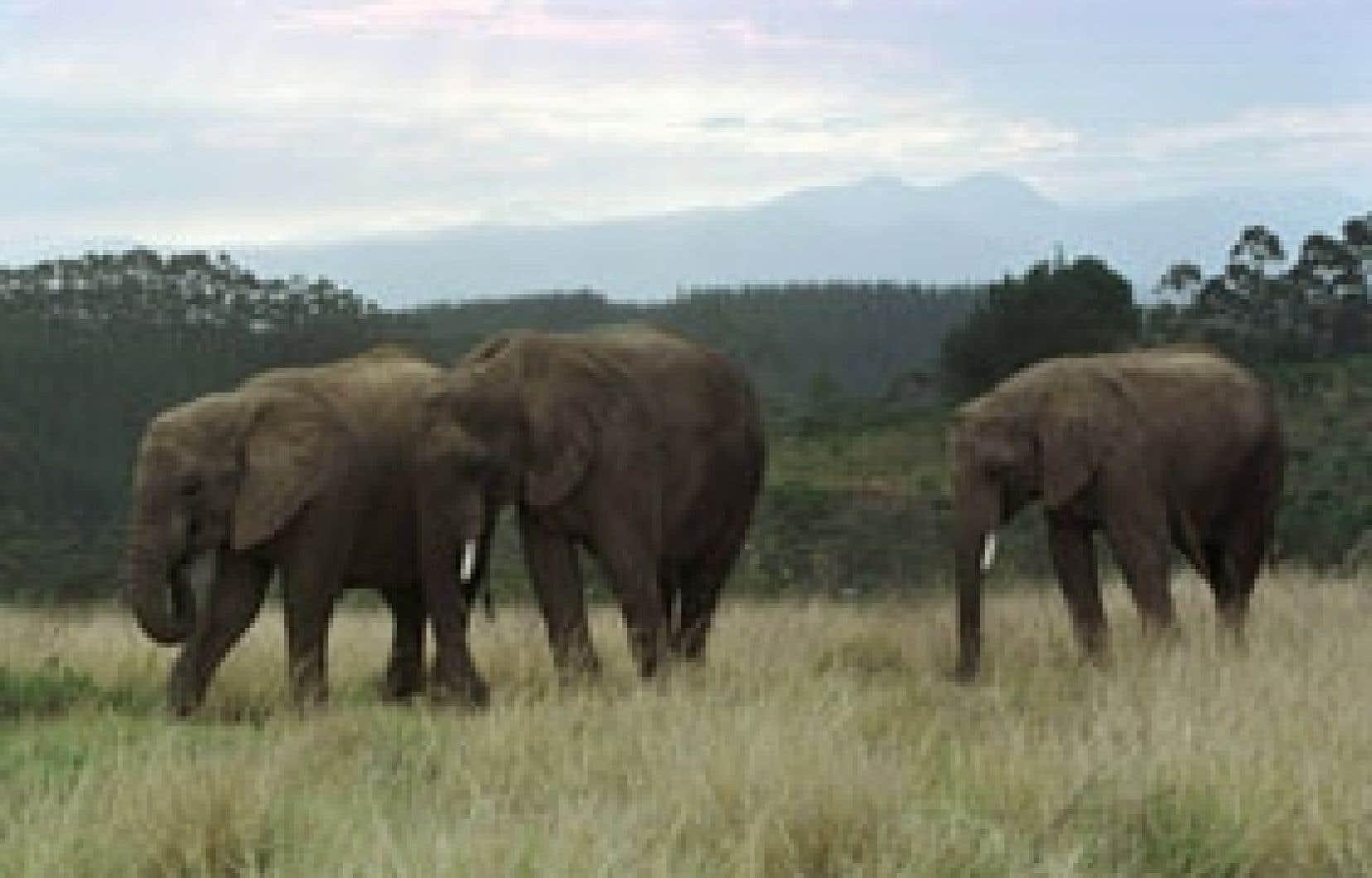 La décision de l'Afrique du Sud va mettre un terme presque complet à l'élevage en captivité des lions, des léopards, des rhinocéros, des buffles et même des éléphants en certains endroits, les «Big Five», en somme, qui ont fait la renommé