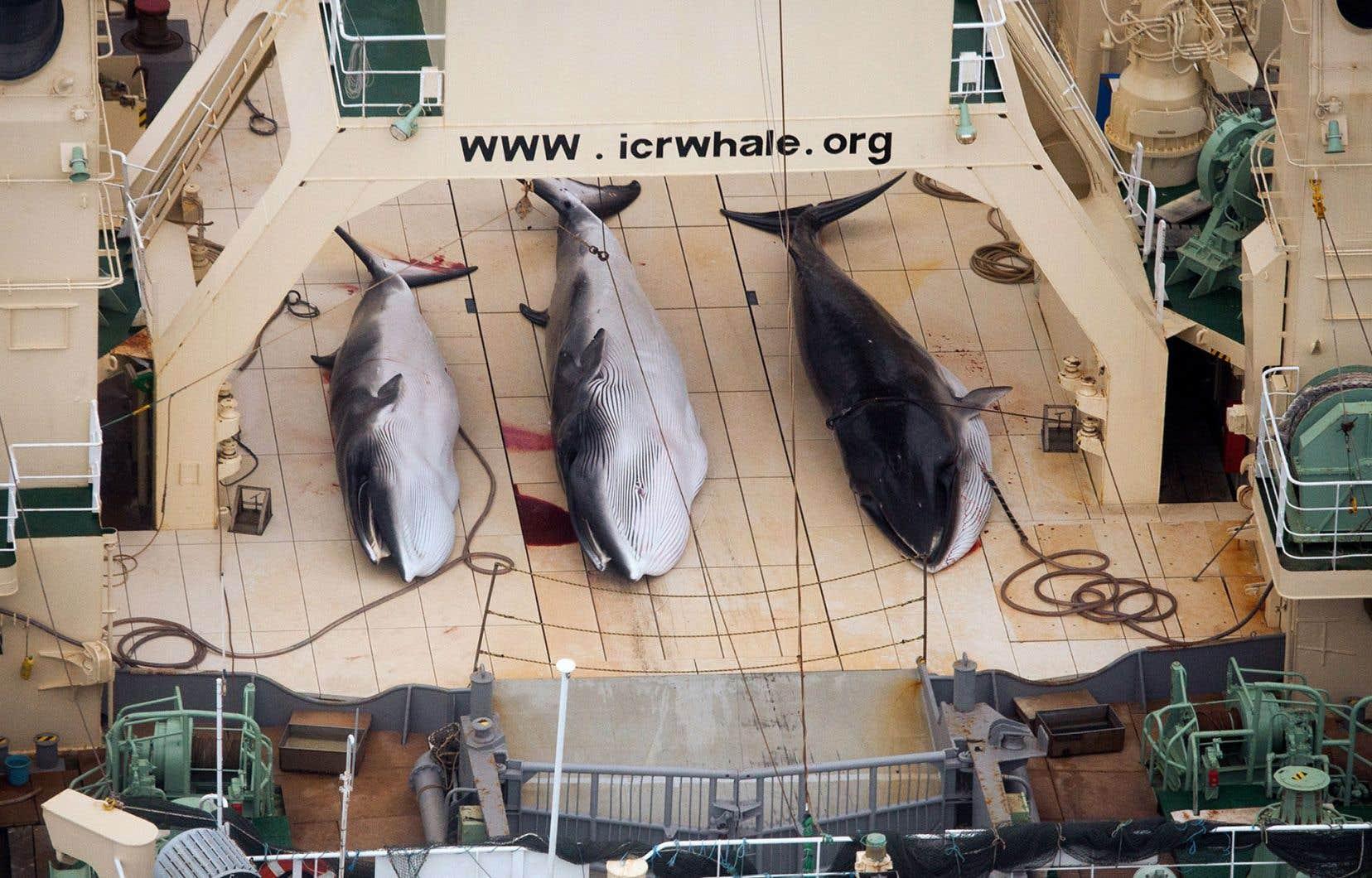 Le jugement reproche au Japon de ne pas avoir envisagé de programme de moins grande envergure, ni même de méthodes non mortelles, pour étudier les populations de baleines.