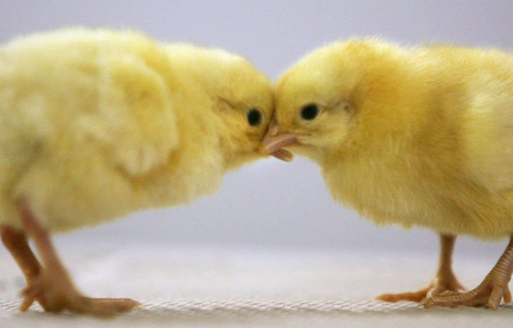 Les négociations du Partenariat transpacifique pourraient amener le Canada à revoir sa politique de gestion de l'offre dans les secteurs du lait, de la volaille et des œufs afin d'ouvrir le marché asiatique à ses produits laitiers, entre autres.