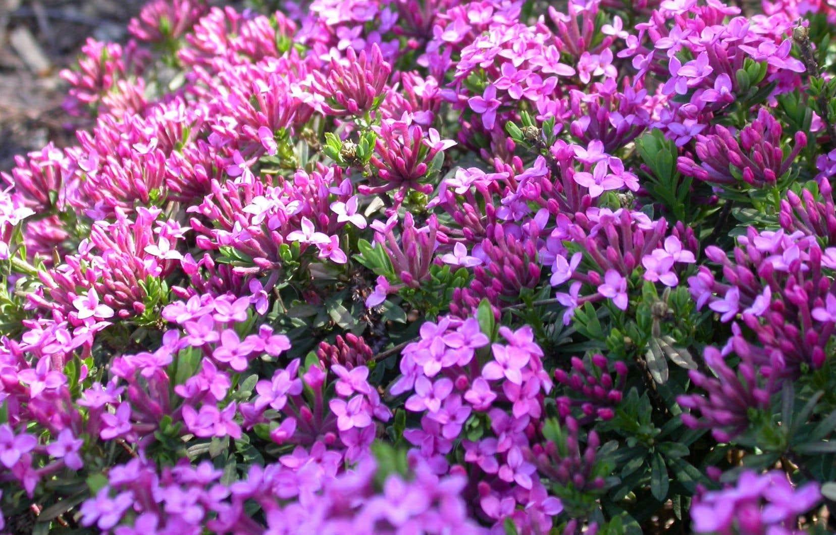 Arbuste Persistant En Pot Plein Soleil les arbustes, ces grands oubliés | le devoir