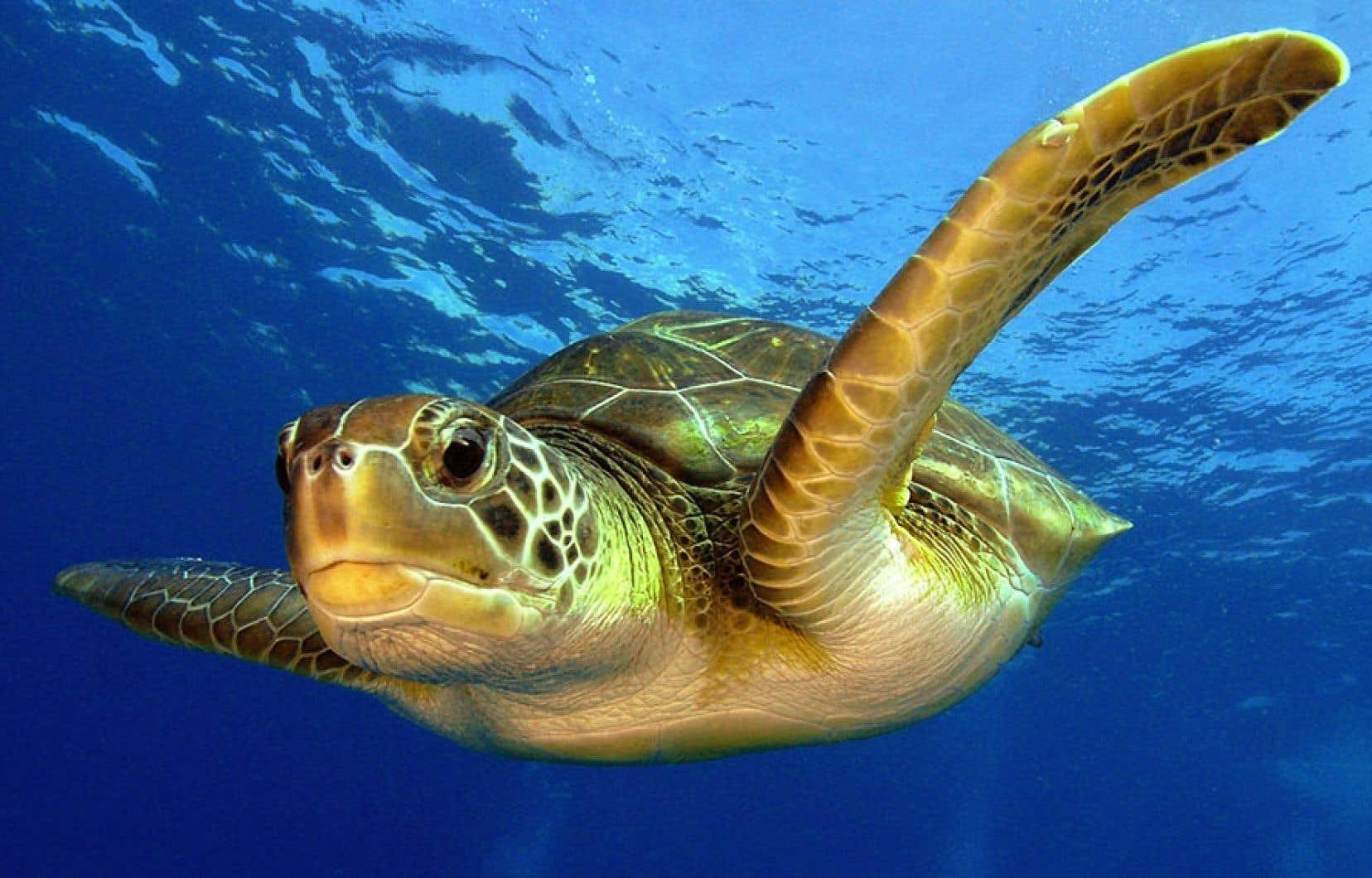 Les prises non désirées, et le plus souvent rejetées mortes à la mer, comme les tortues, représenteraient grosso modo 10 % de toutes les captures dans le monde.