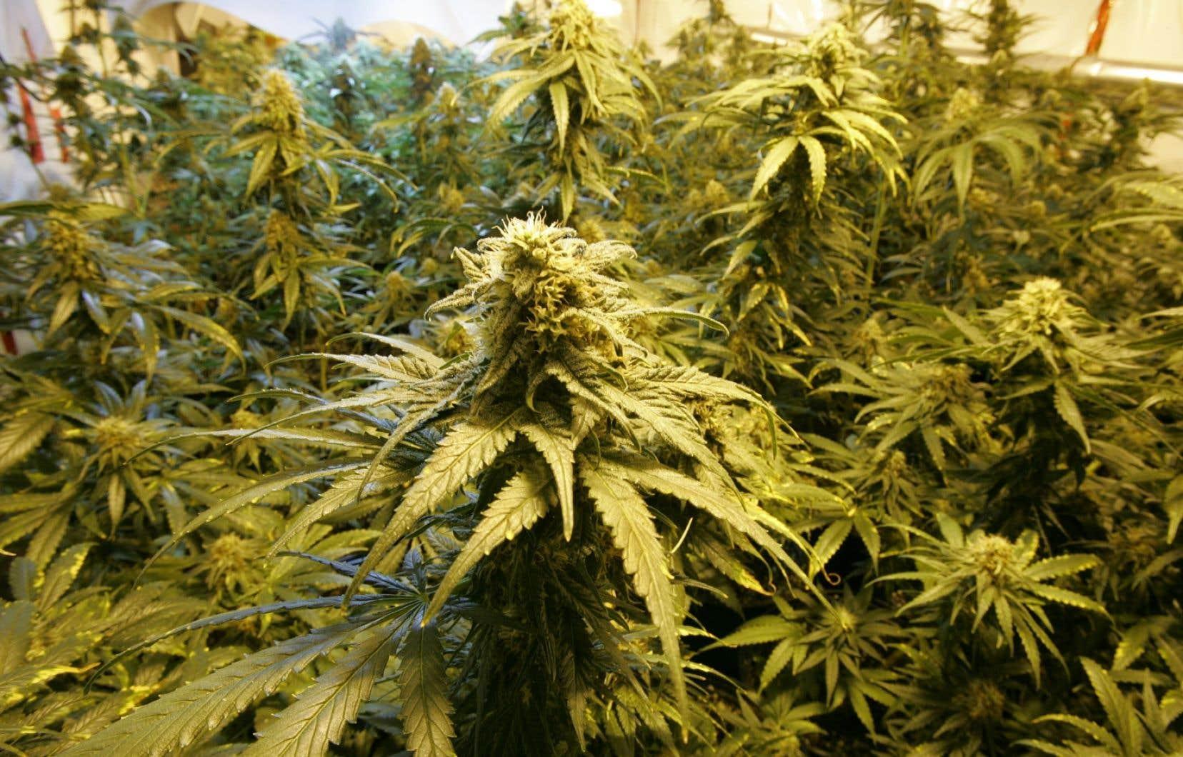 Le 1er avril, Santé Canada a radicalement modifié ses règles sur la marijuana médicale en ouvrant la production au secteur commercial.