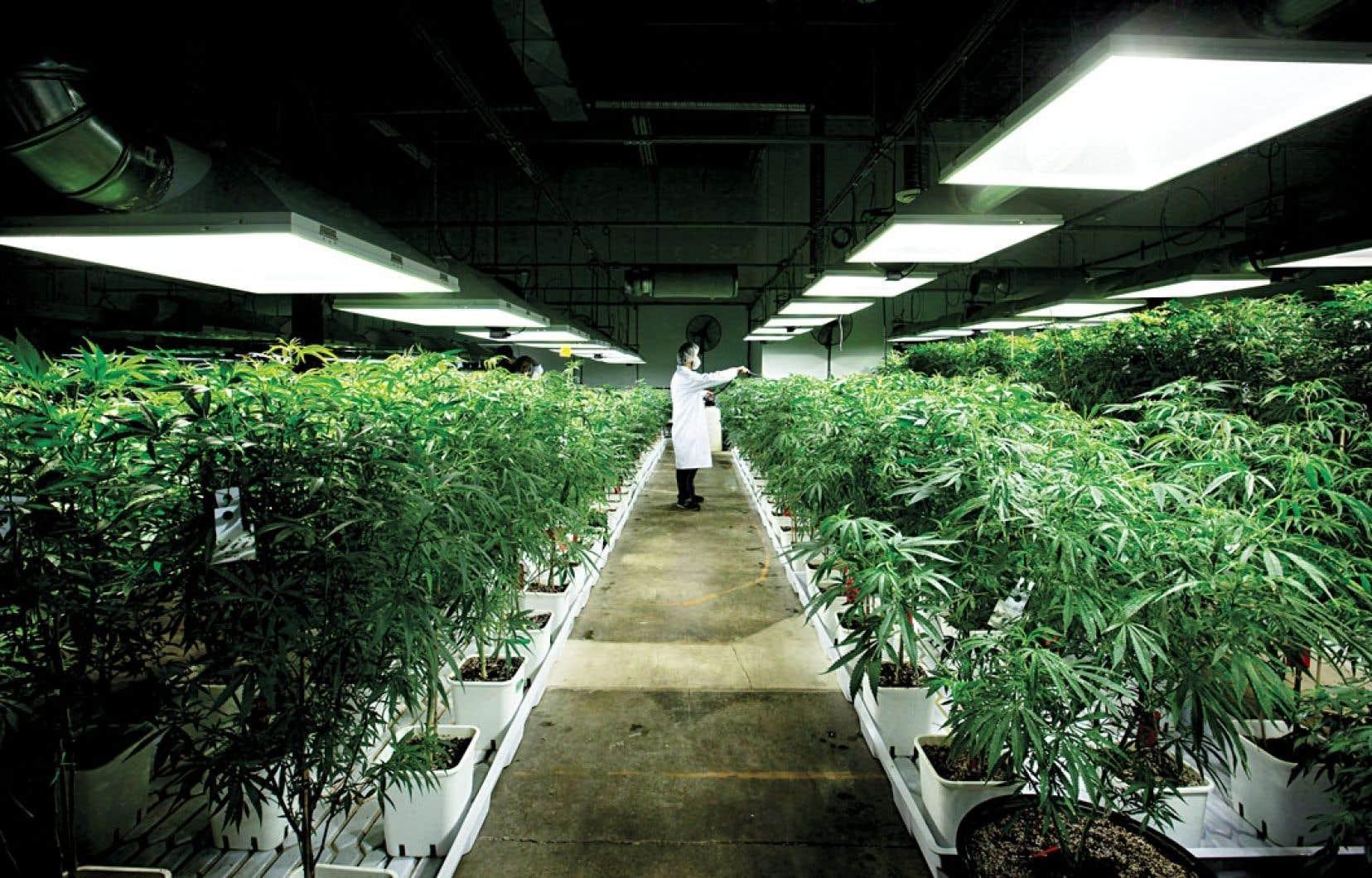 L'entreprise MediJean produit de la marijuana à des fins thérapeutiques dans ses installations de Richmond, en Colombie-Britannique.