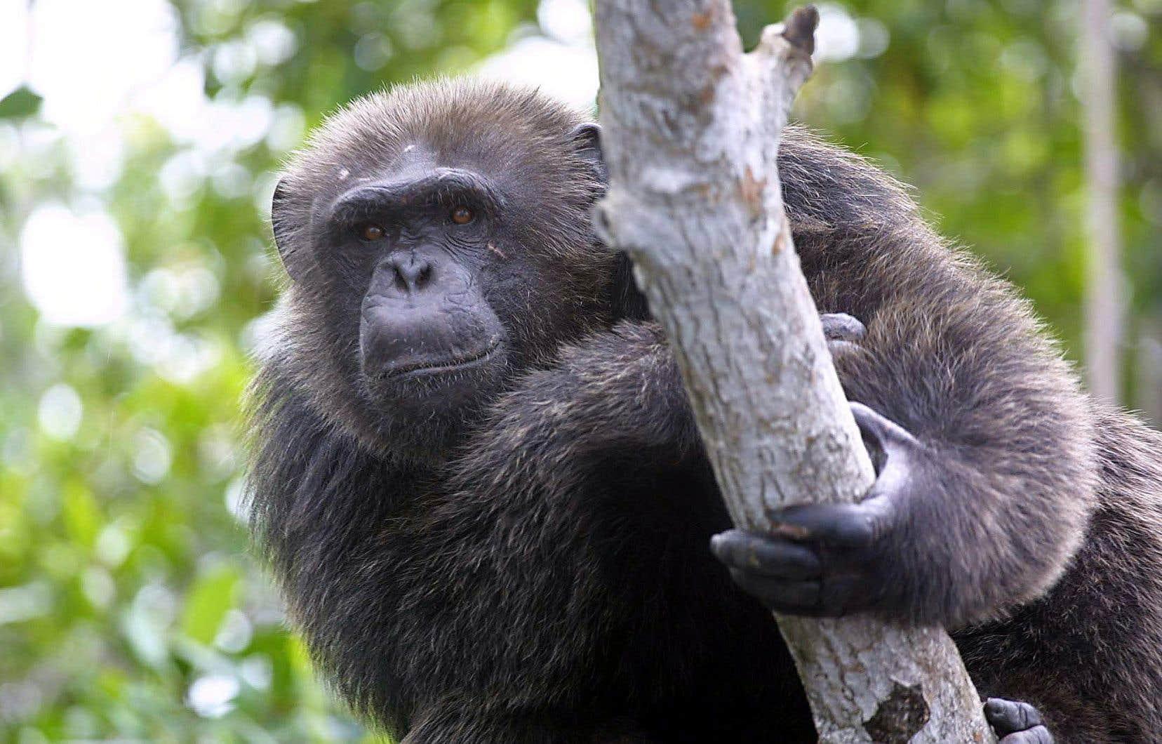 Les comportements sociaux des chimpanzés ont été étudiés pendant un demi-siècle par la primatologue Jane Goodall.