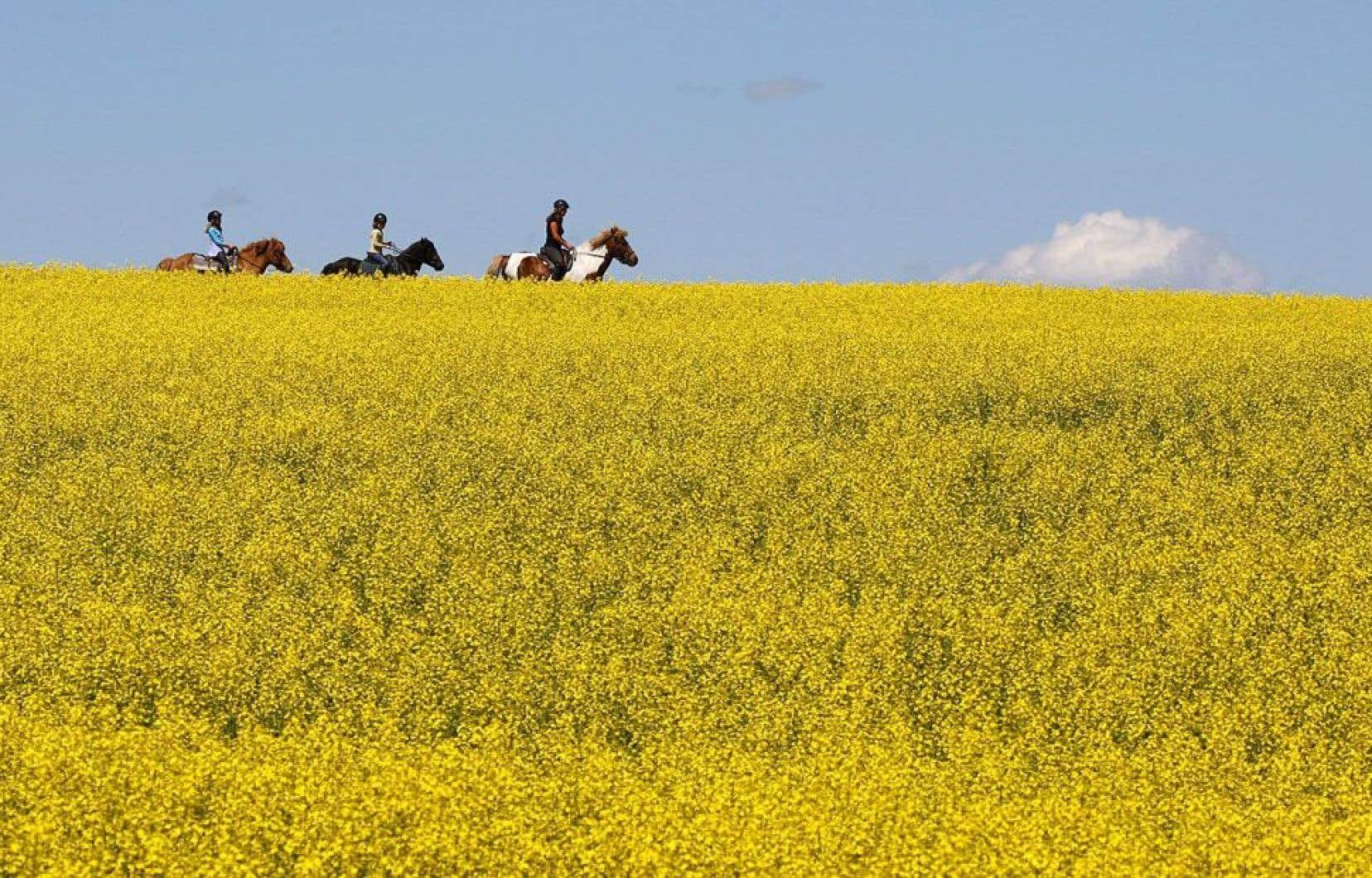 Les champs de canola (notre photo) et ceux de maïs-grain destiné au bétail sont régulièrement contaminés par les OGM, au grand dam des producteurs biologiques.