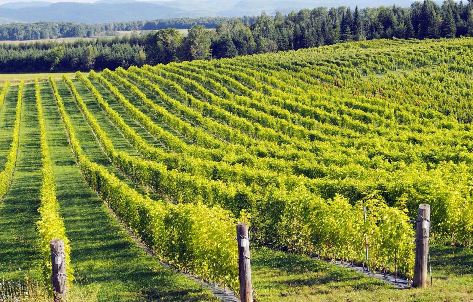 Vue sur le Vignoble Saint-Gabriel, par un matin ensoleillé, avec ses 29000 pieds de vigne bien alignés sur un coteau. Le contraste entre la nature sauvage des Laurentides et les rangs bien disciplinés est frappant.
