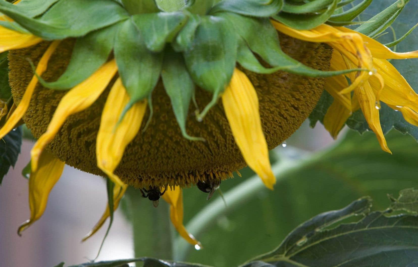 Selon différentes études, l'abeille domestique et ses comparses, les pollinisateurs sauvages, contribueraient à notre approvisionnement alimentaire pour une somme équivalant à environ 10 % des revenus agricoles mondiaux.