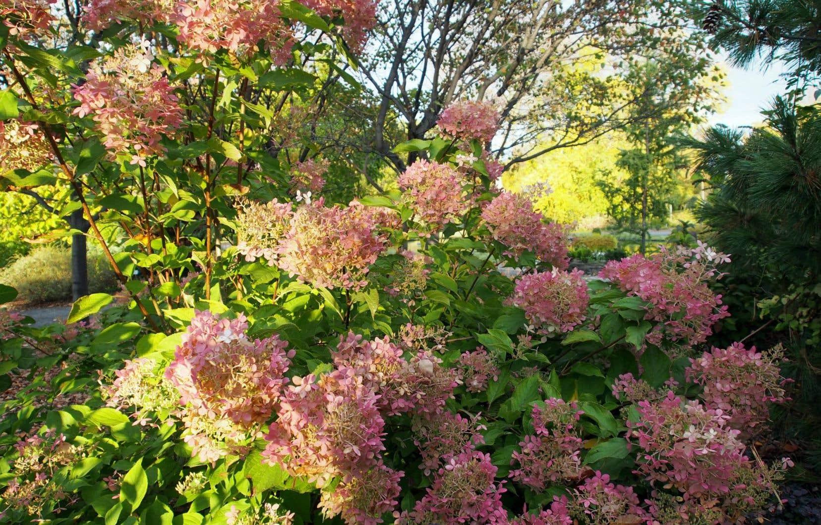 Quelque 42% des jardiniers ont des hydrangées sur leur terrain. H. paniculata «Phantom» (sur la photo) est l'une des espèces que l'on retrouve au Québec.