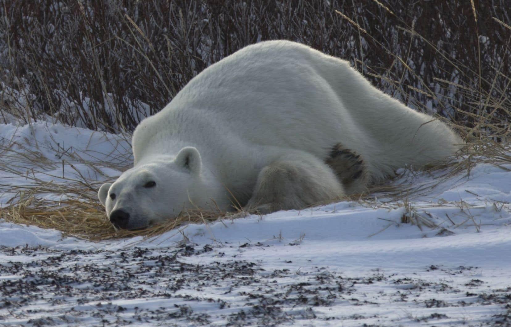 Les ours polaires du sud de la baie d'Hudson sont parmi les plus touchés par les changements climatiques.