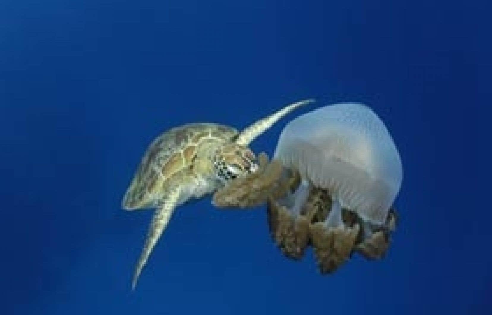Dans un ballet aquatique, une tortue géante se paie un festin de méduse. Puisque celle-ci est composée des cellules urticantes qui paralysent ses prédateurs, peu d'espèces ont un estomac assez bétonné pour pouvoir l'engloutir au souper.