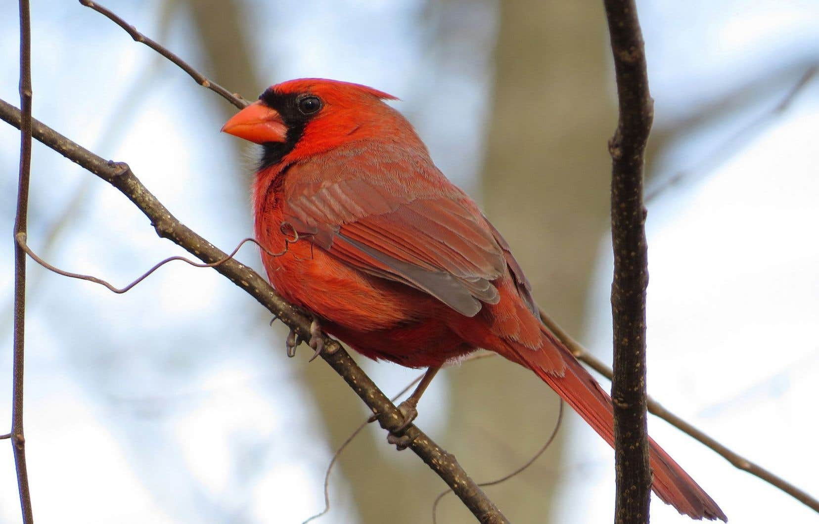 Le cardinal rouge se déplace de plus en plus vers le nord depuis 50 ans.