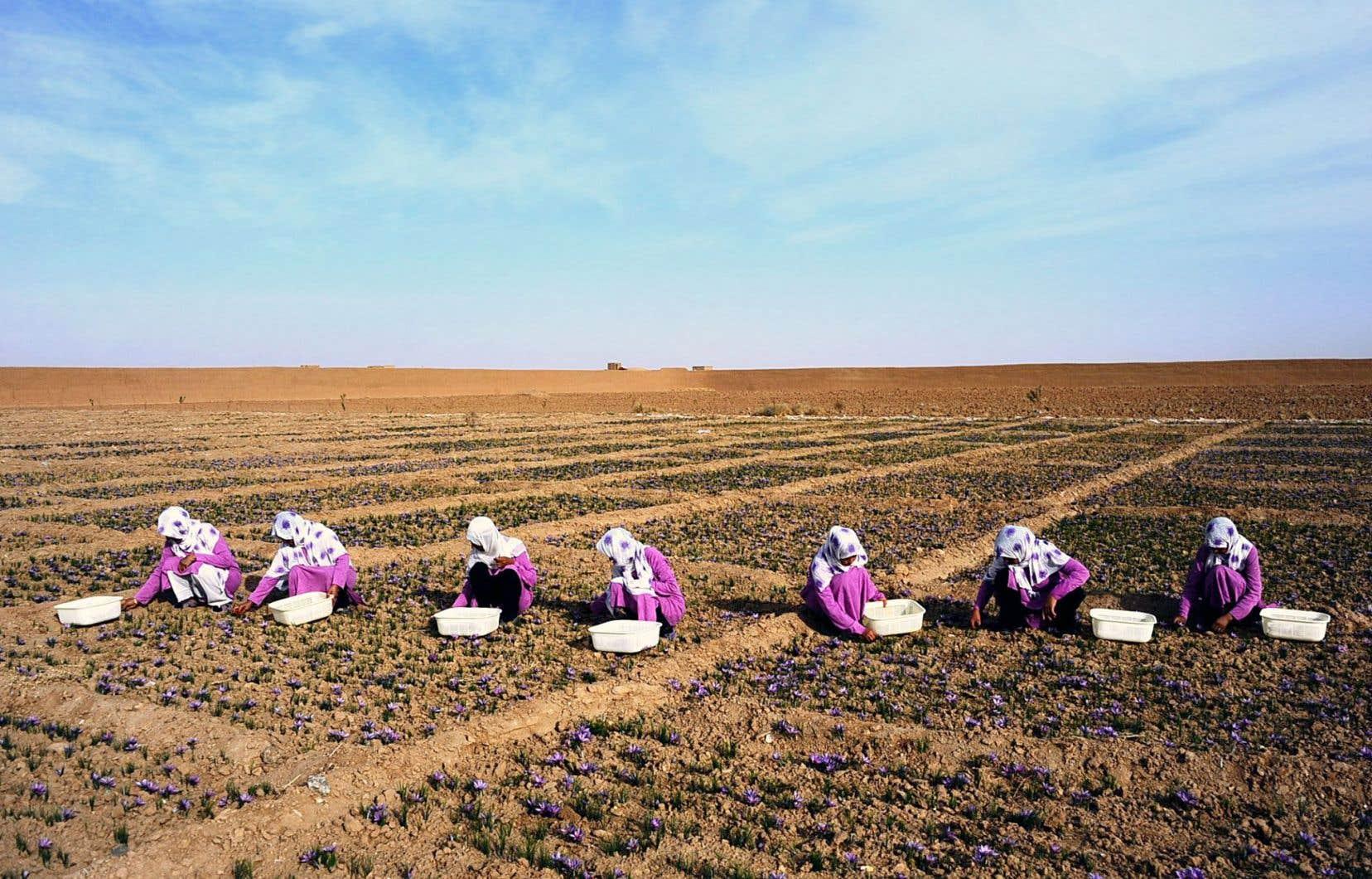 Des Afghanes cueillant le safran.