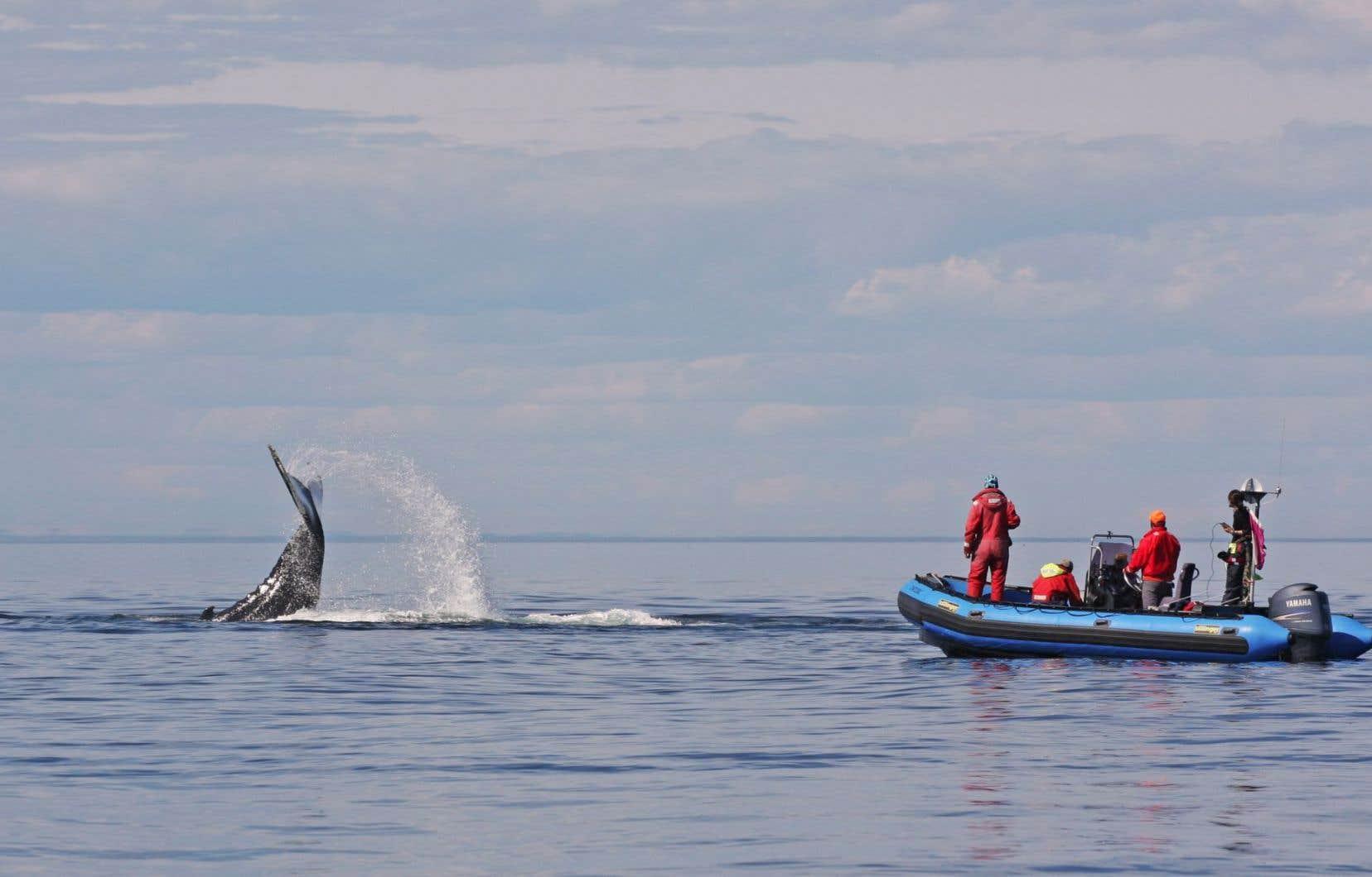 En plus de dresser un portrait de la population de rorquals bleus, la Station de recherche des îles Mingan (MICS) étudie les autres grands cétacés qui fréquentent les eaux du Saint-Laurent, dont la baleine à bosse (notre photo).