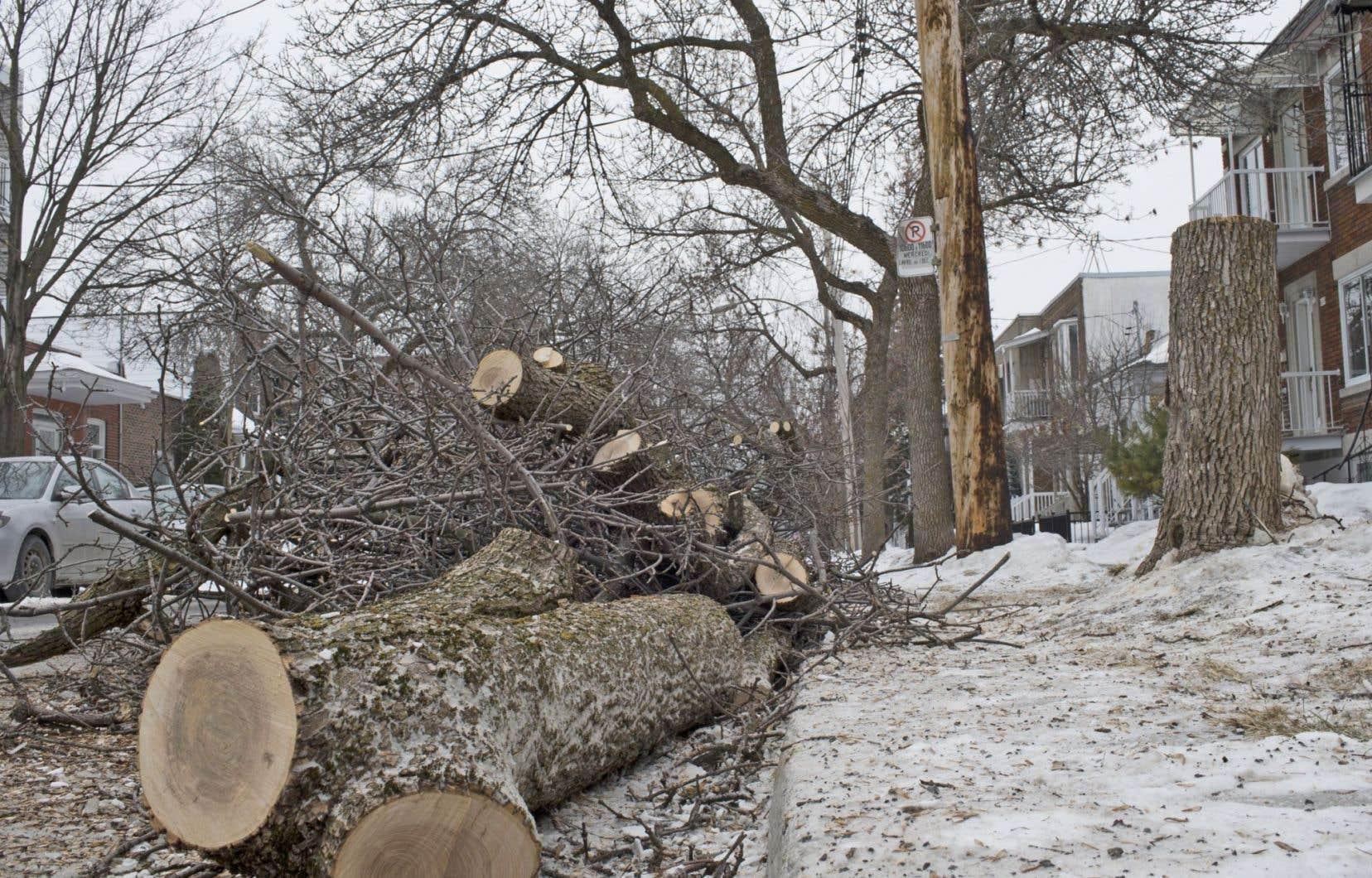 En 2014,572 arbres ont dû être coupés et détruits en raison de l'insecte ravageur, uniquement sur les terrains publics. L'année 2015, elle, s'annonce encore pire.