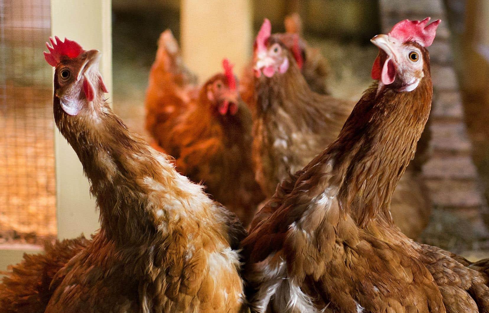 Malgré la multiplication des citadins qui gardent quelques poules, la volaille en ville est toujours illégale.