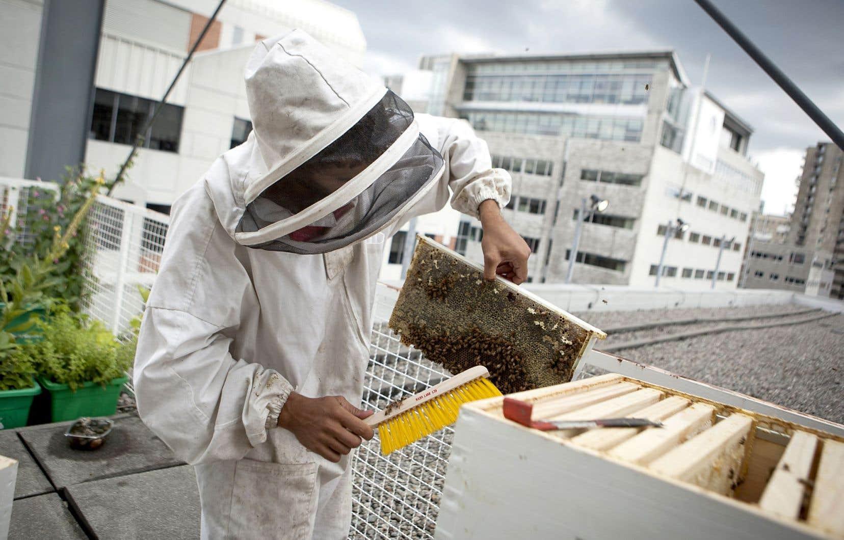 Au cours des dernières années, le nombre de ruches a explosé sur les toits de Montréal. On en trouve sur des sites aussi variés que la maison Birks, l'Accueil Bonneau, la Tohu, l'hôtel Fairmount Le Reine Élizabeth, le Palais des congrès, l'UQAM (photo) et bientôt l'aéroport Montréal-Trudeau. Sans compter les projets à vocation communautaire et les ruches privées qui se multiplient.
