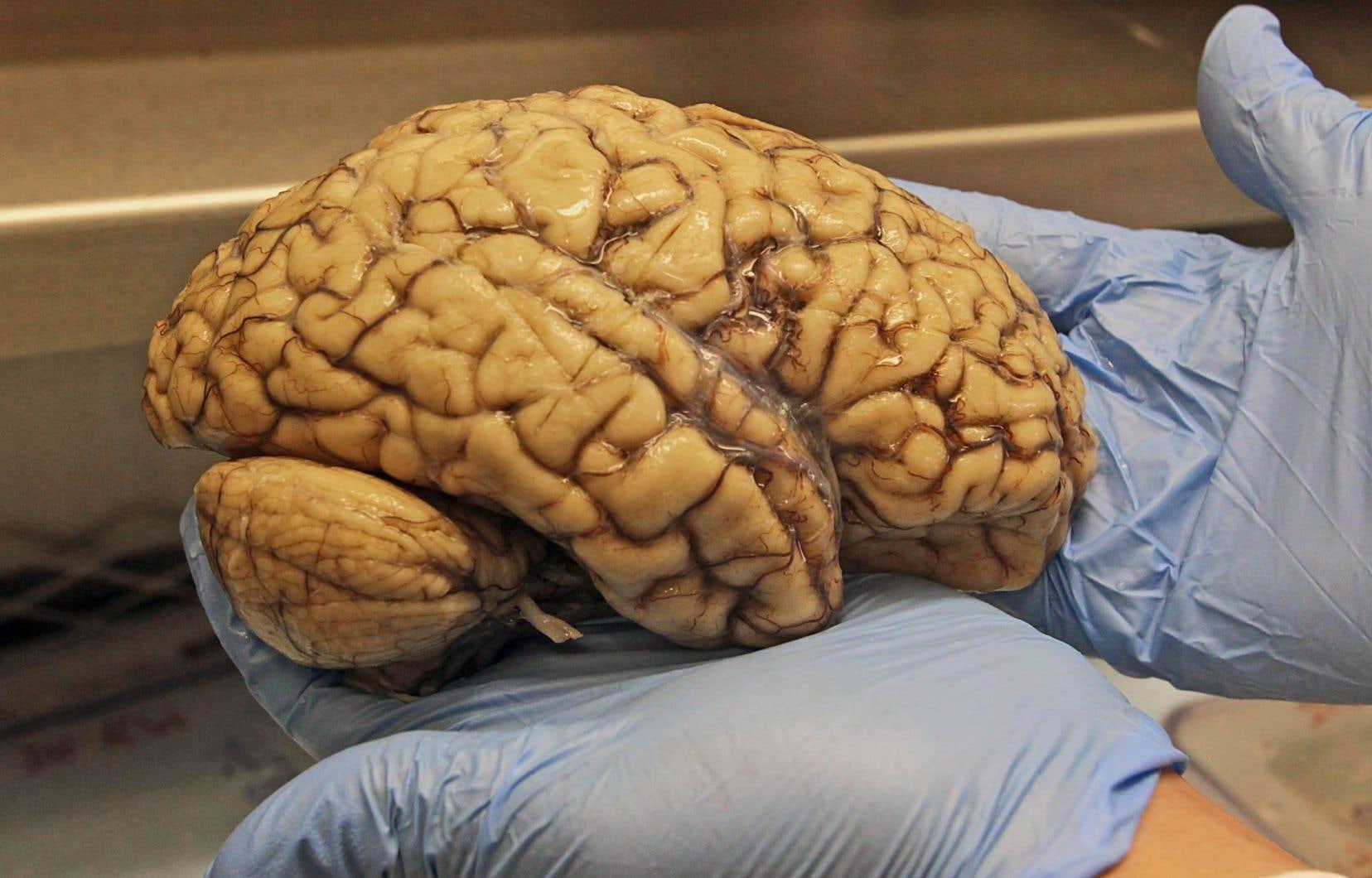 Les neuroscientifiques ont longtemps jugé le cerveau incapable de régénérer, à la différence d'organes tels que le foie ou les os.