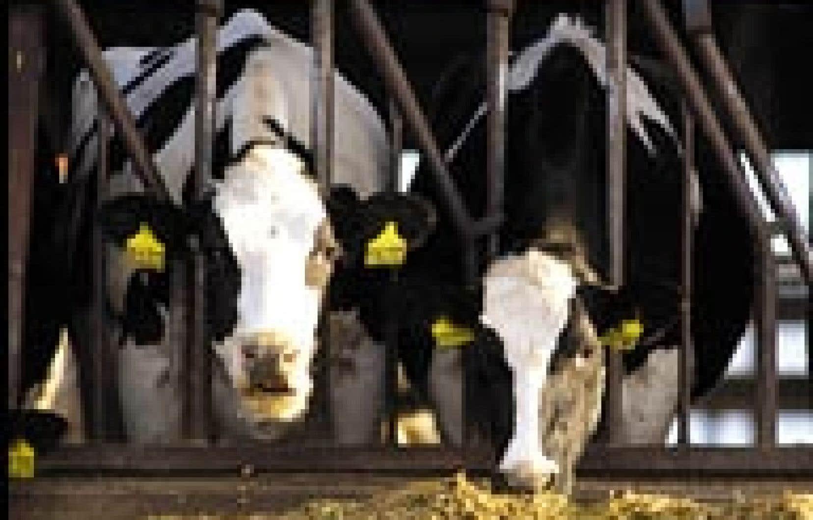 Une vache du troupeau américain où a abouti l'animal contaminé.