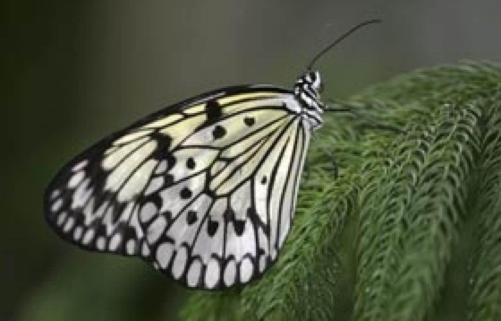 Un papillon leuconé (Idea leucone)
