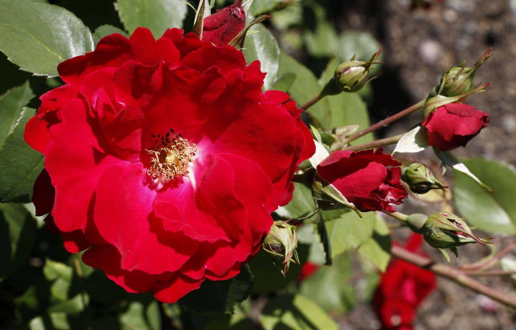 Le rosier «Champlain»