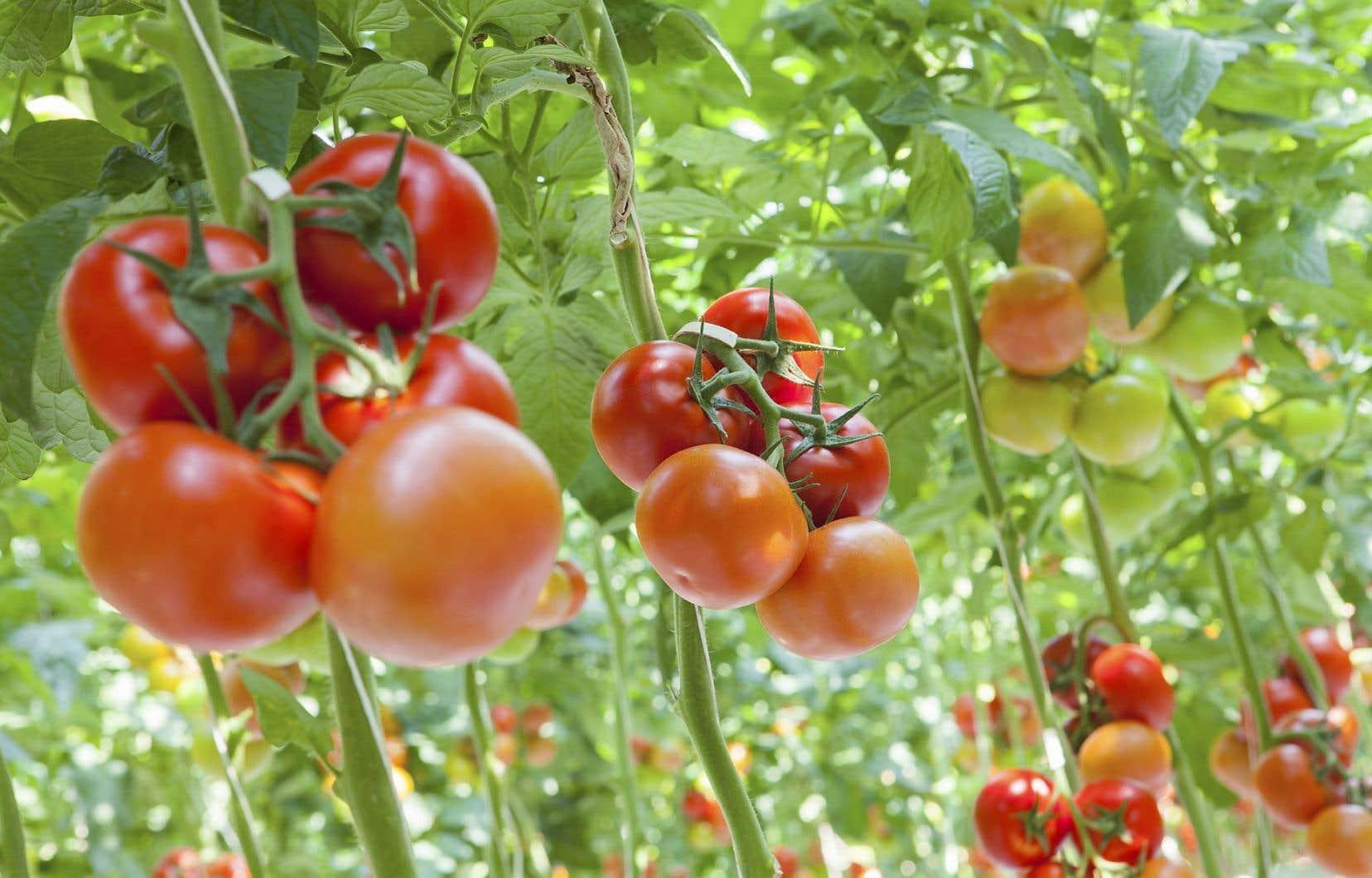 En avril dernier, l'entreprise Serres Sagami a acheté les actifs du producteur de tomates Serres du Saint-Laurent et de sa marque Savoura.