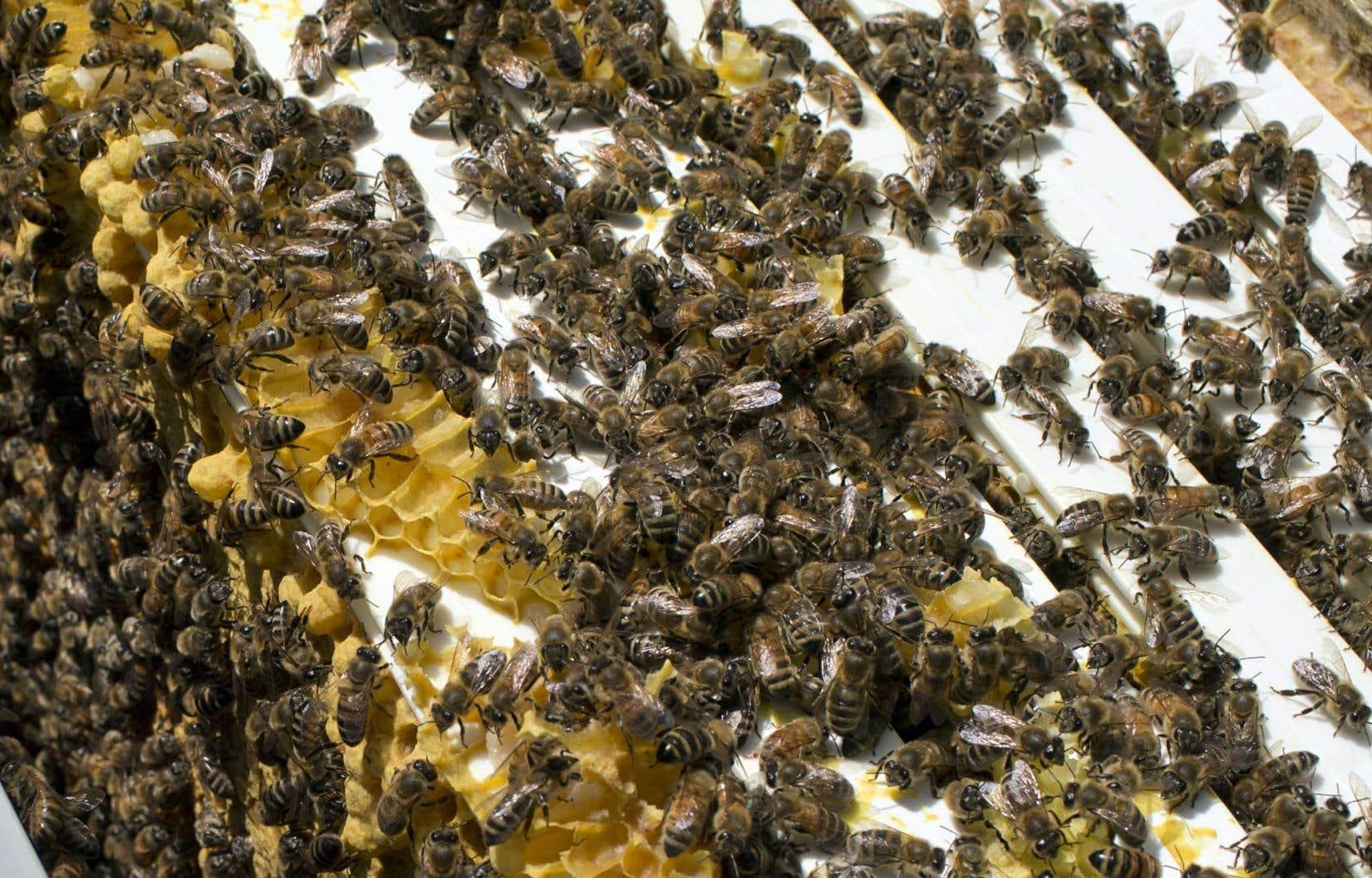 Après l'hiver 2014-2015, ce sont 16% des abeilles qui sont mortes, la moyenne la plus basse des huit dernières années.