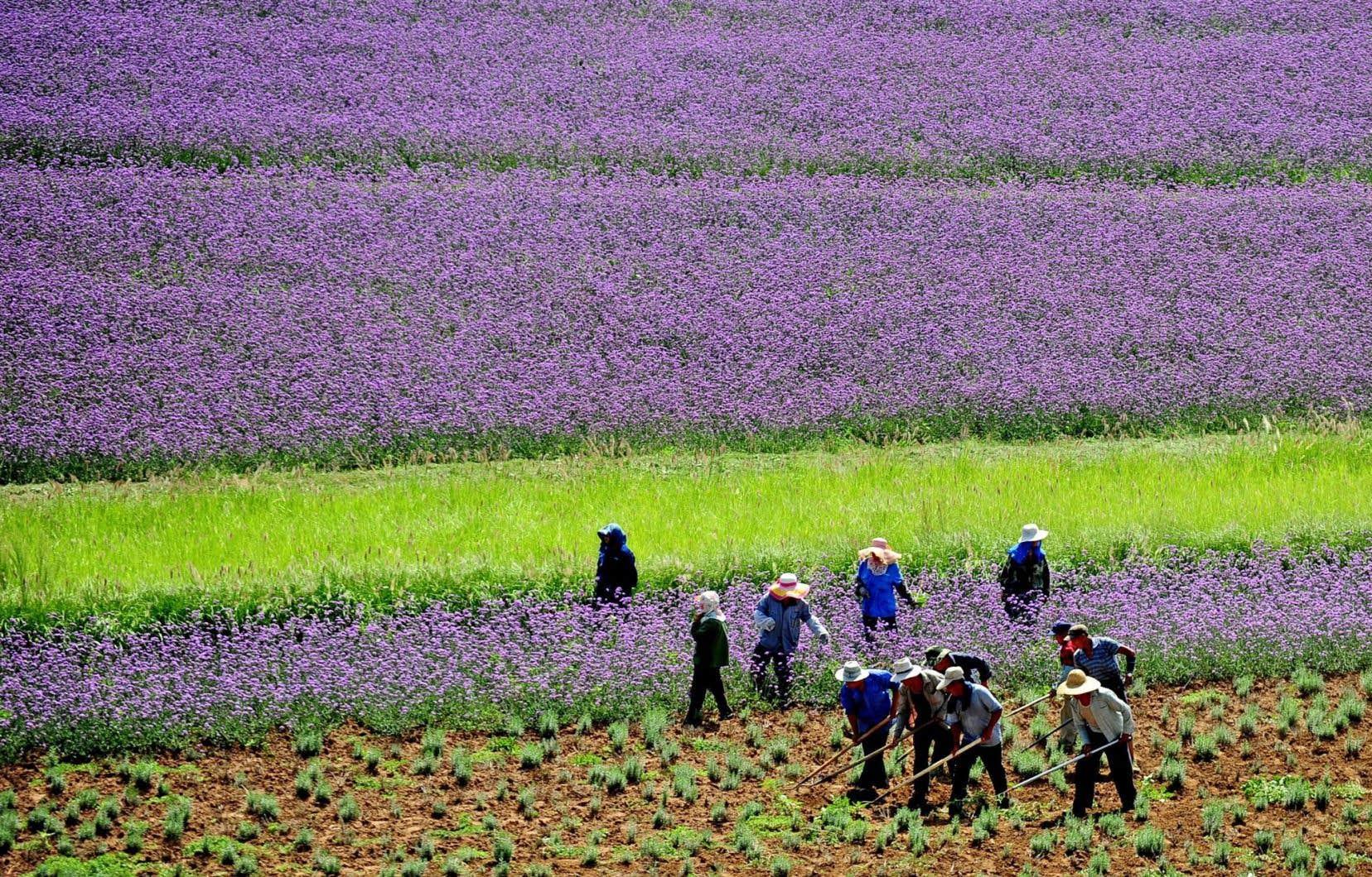 Des travailleurs agricoles à l'œuvre dans un champ de lavande dans la province du Liaoning. La Chine, qui a dévalué sa monnaie deux fois en autant de jours, tente d'accroître ses exportations pour raffermir son économie. Cette double dévaluation a semé l'inquiétude sur les marchés.