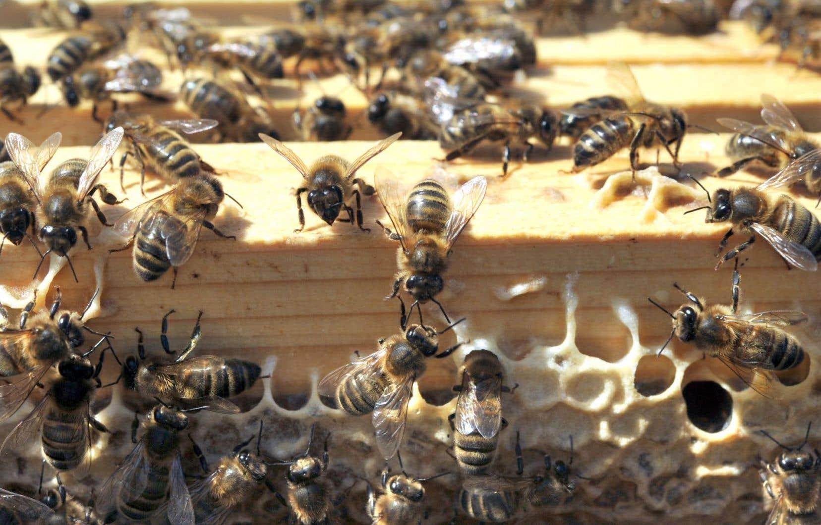 Pour réduire la mortalité des abeilles, l'Ordre des agronomes pourrait proscrire les néonicotinoïdes, qui ont peu d'effet sur les champs au Québec.