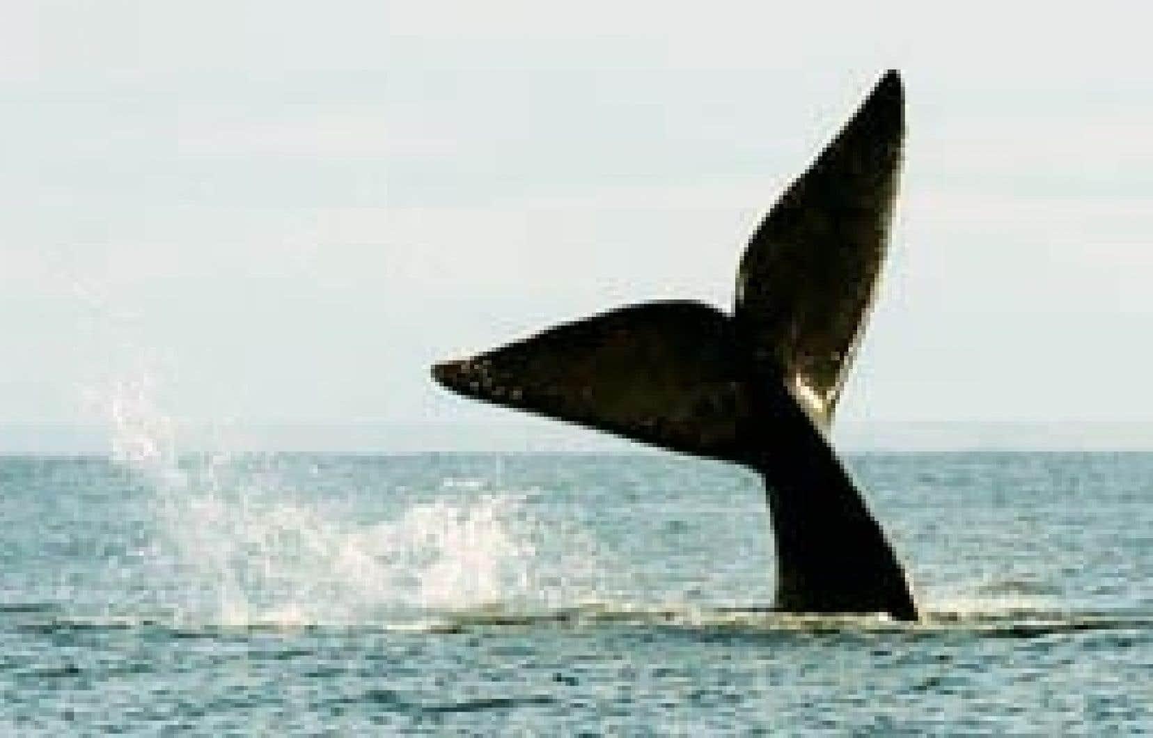 Une baleine franche se prépare à plonger. Le «brouillard sonore» qui envahit les mers affecte le système de communication des grands mammifères marins, les désoriente et les amène à changer leurs comportements.