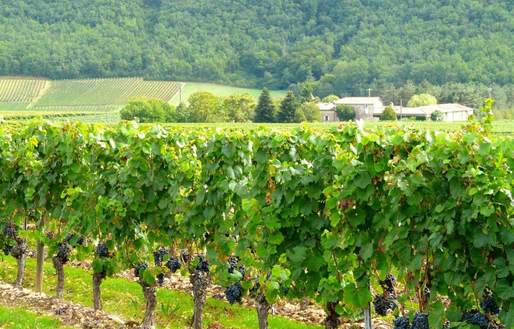 Un vignoble à Cahors, vu du Château de Gaudou. Au loin, le Clos La Coutale.