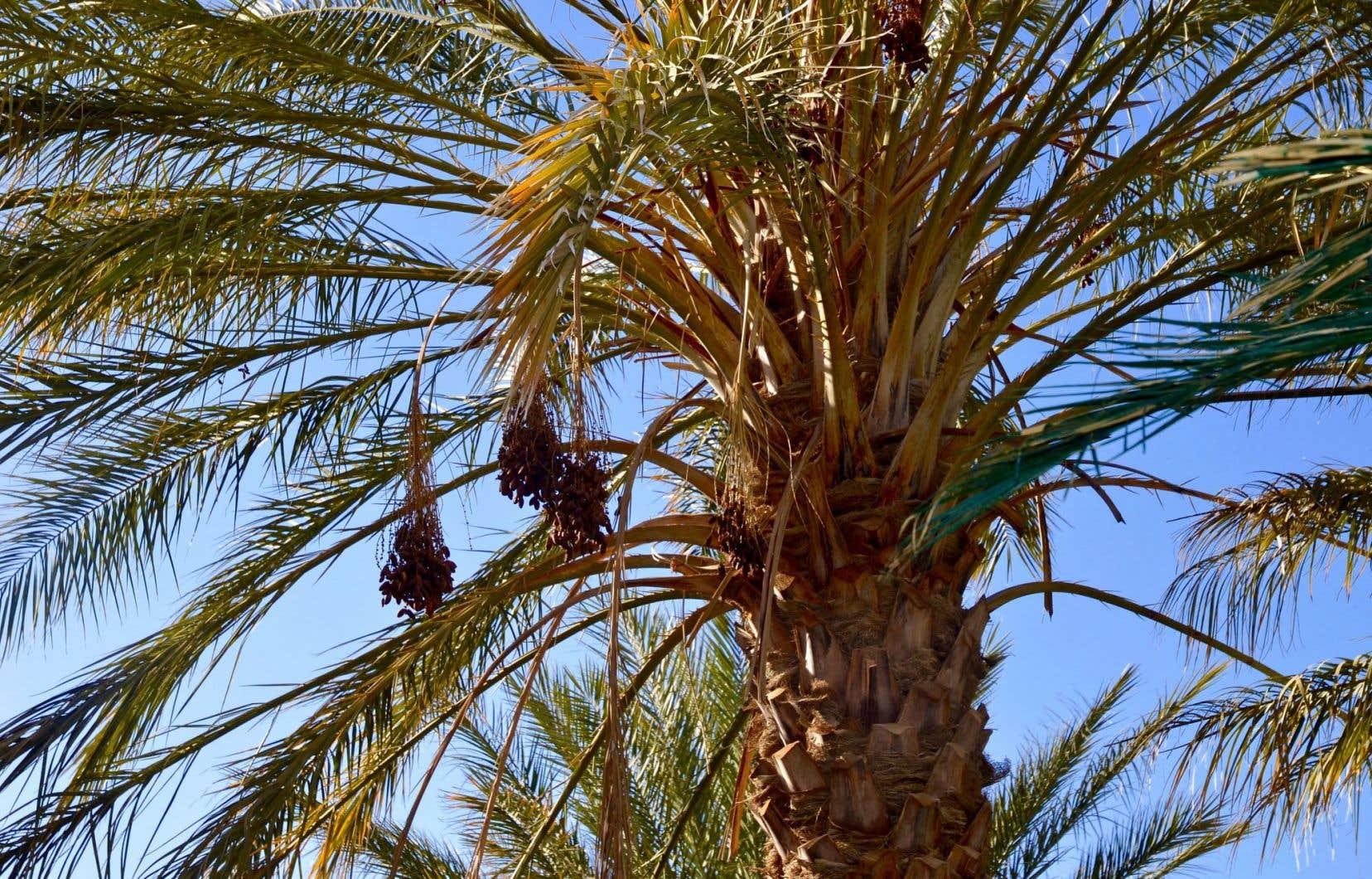 Un palmier-dattier dans la palmeraie de Tozeur, où se trouve la maison d'hôtes Dar Horchani.