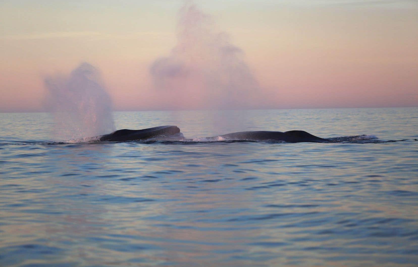 Les travaux de recherche menés depuis plusieurs années devraient permettre de déterminer prochainement l'«habitat critique» de la baleine bleue dans les eaux canadiennes.
