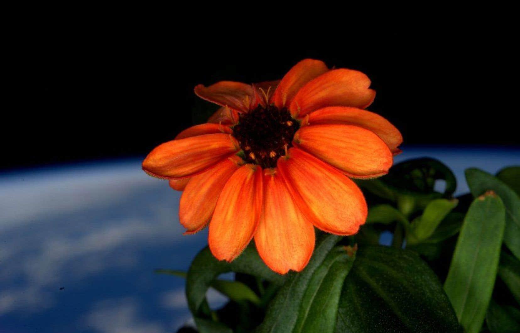 Le zinnia pousse très facilement sur la Terre et fleurit abondamment pendant l'été.