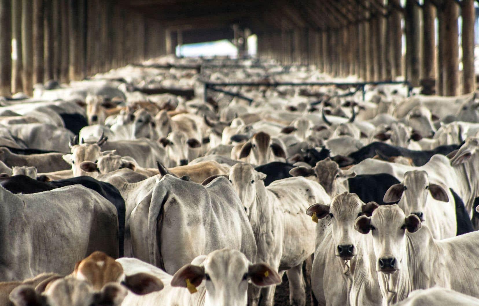 L'élevage du bétail: le point faible du discours écologique? Le film Cowspiracy nous démontre à quel point nous sommes pétris de contradictions.