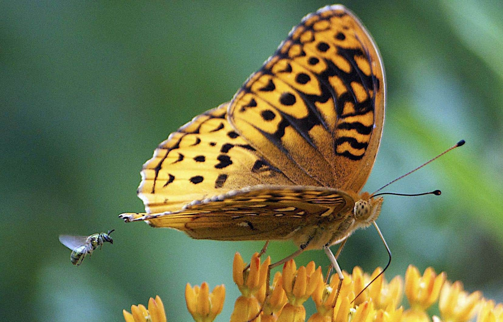 Quarante pour cent des pollinisateurs invertébrés, comme les papillons et les abeilles, semblent se diriger tout droit vers l'extinction.