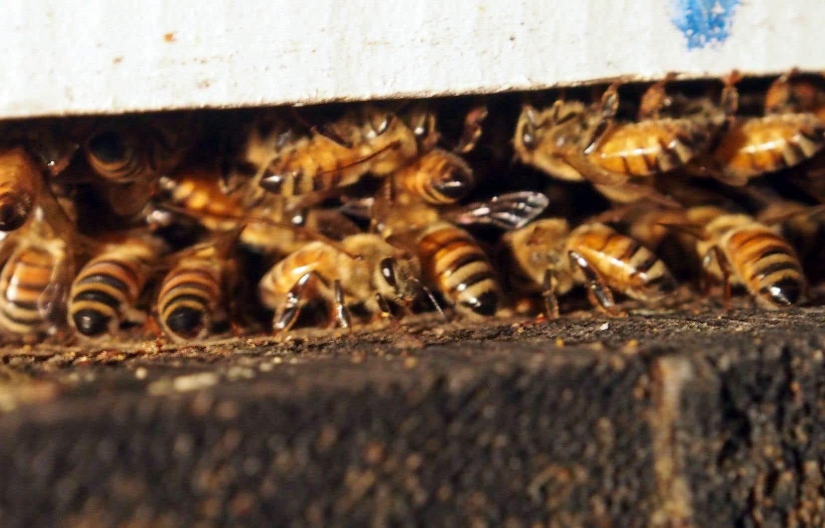 Les abeilles en activité, même l'hiver, dégagent de la chaleur qui est récupérée pour chauffer la serre.