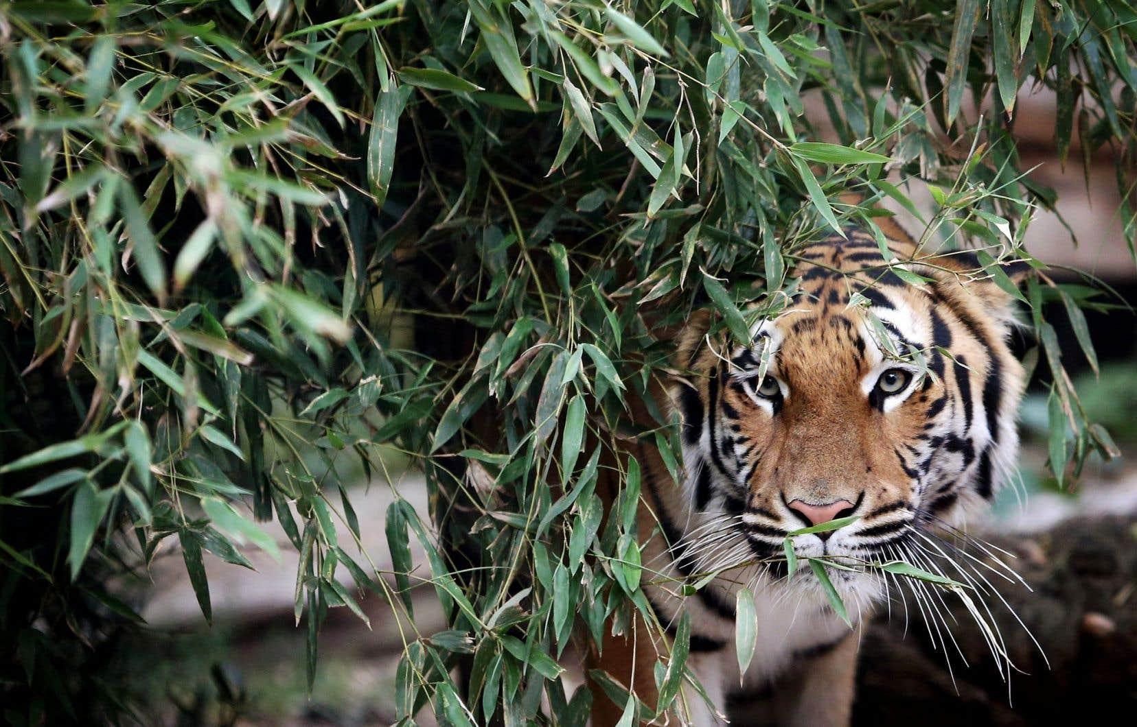 La figure du tigre polarise des passions sauvages, exacerbées par le danger, dans le roman de Patrick Grainville.