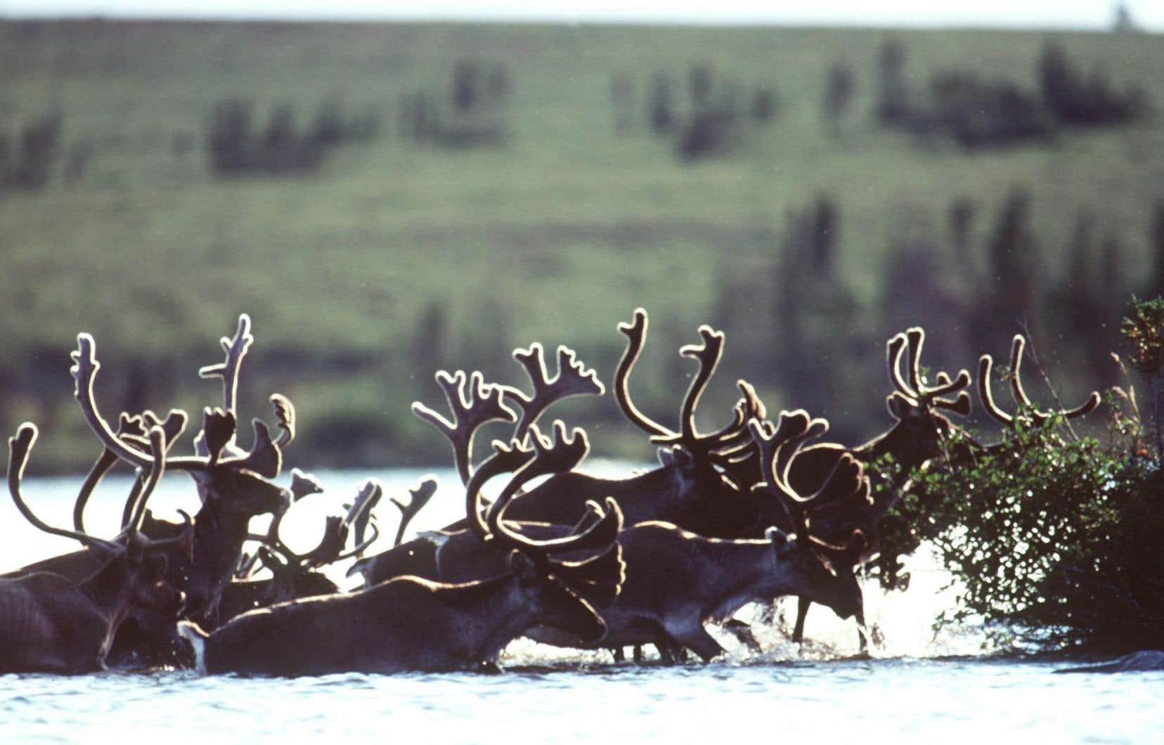 <p>Le caribou forestier est une espèce désignée comme vulnérable depuis 2005 au Québec, en vertu de la Loi sur les espèces menacées ou vulnérables.</p>