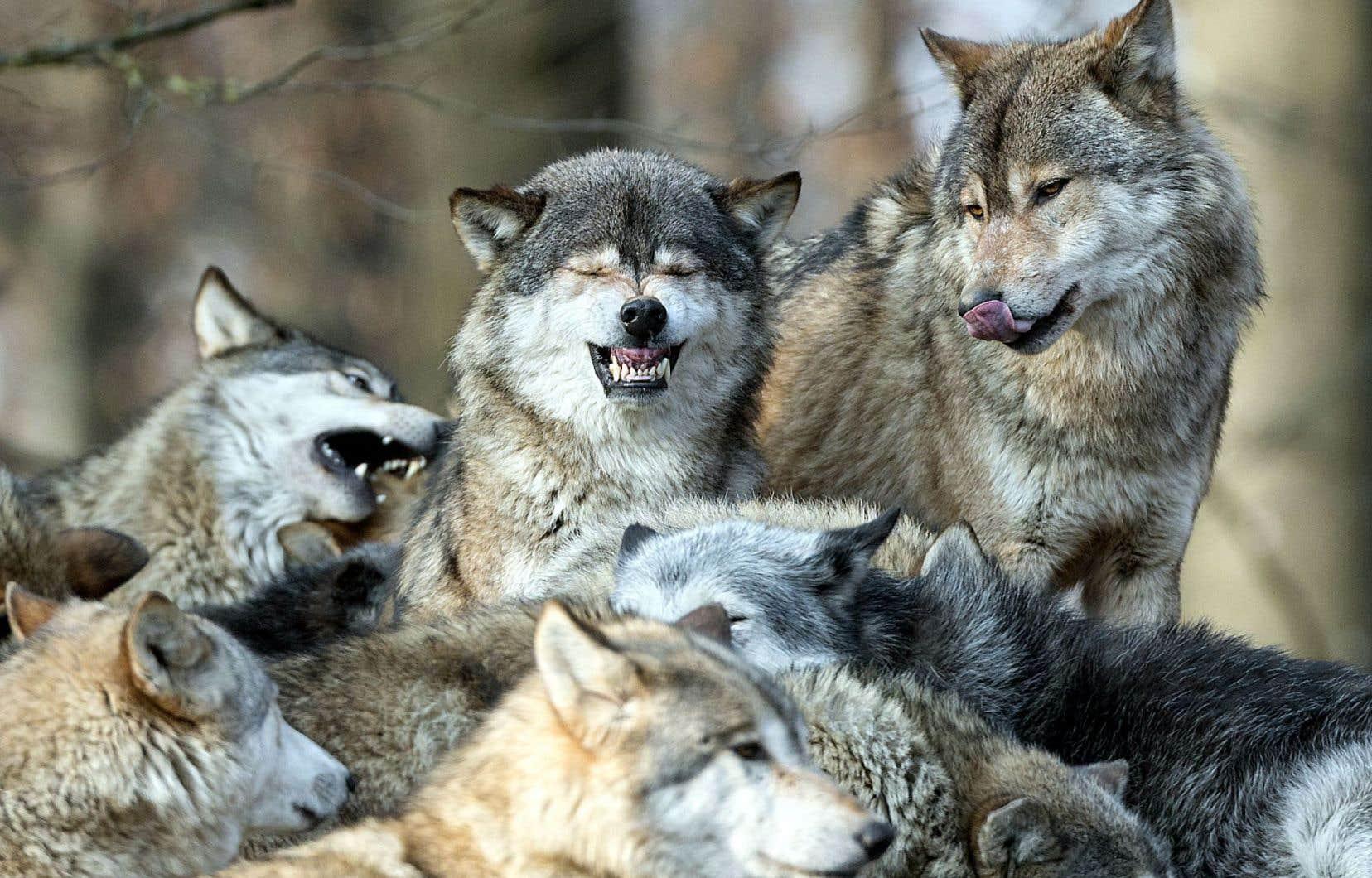 Essayez, pour voir, d'enseigner la beauté sauvage des loups et de la meute, de ces canidés, de ces seigneurs du Nord à une fillette intoxiquée par une imagerie médiévale attardée, convaincue que loup = méchant.