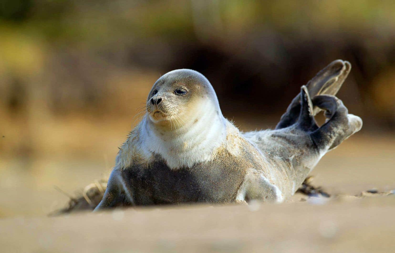 Les jeunes phoques communs naissent sur les rives du Saint-Laurent dans des secteurs bien souvent fréquentés ou habités, ce qui augmente les chances qu'ils soient dérangés ou harcelés. Et cela peut menacer leur survie.