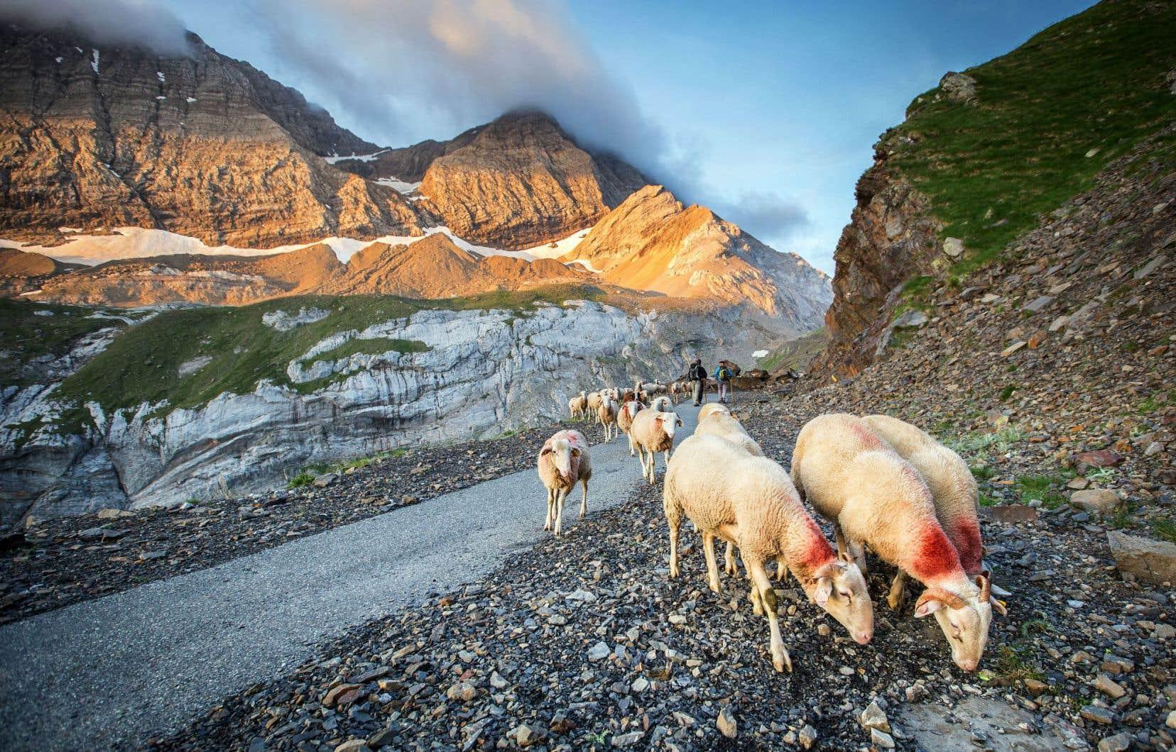 Dans les Hautes-Pyrénées: le pastoralisme y est plus présent que dans les autres massifs français.