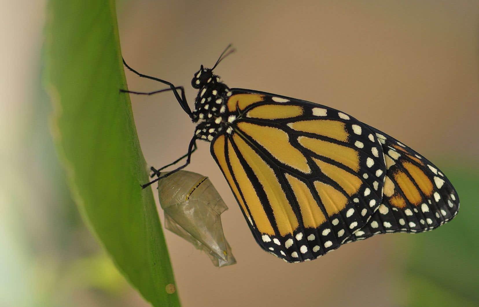 La taille de la population des monarques, calculée en hectares (surface couverte par les papillons sur les sites d'hivernage), est passée de 18,19 hectares en 1996-1997 à 1,13 hectare en 2014-2015.